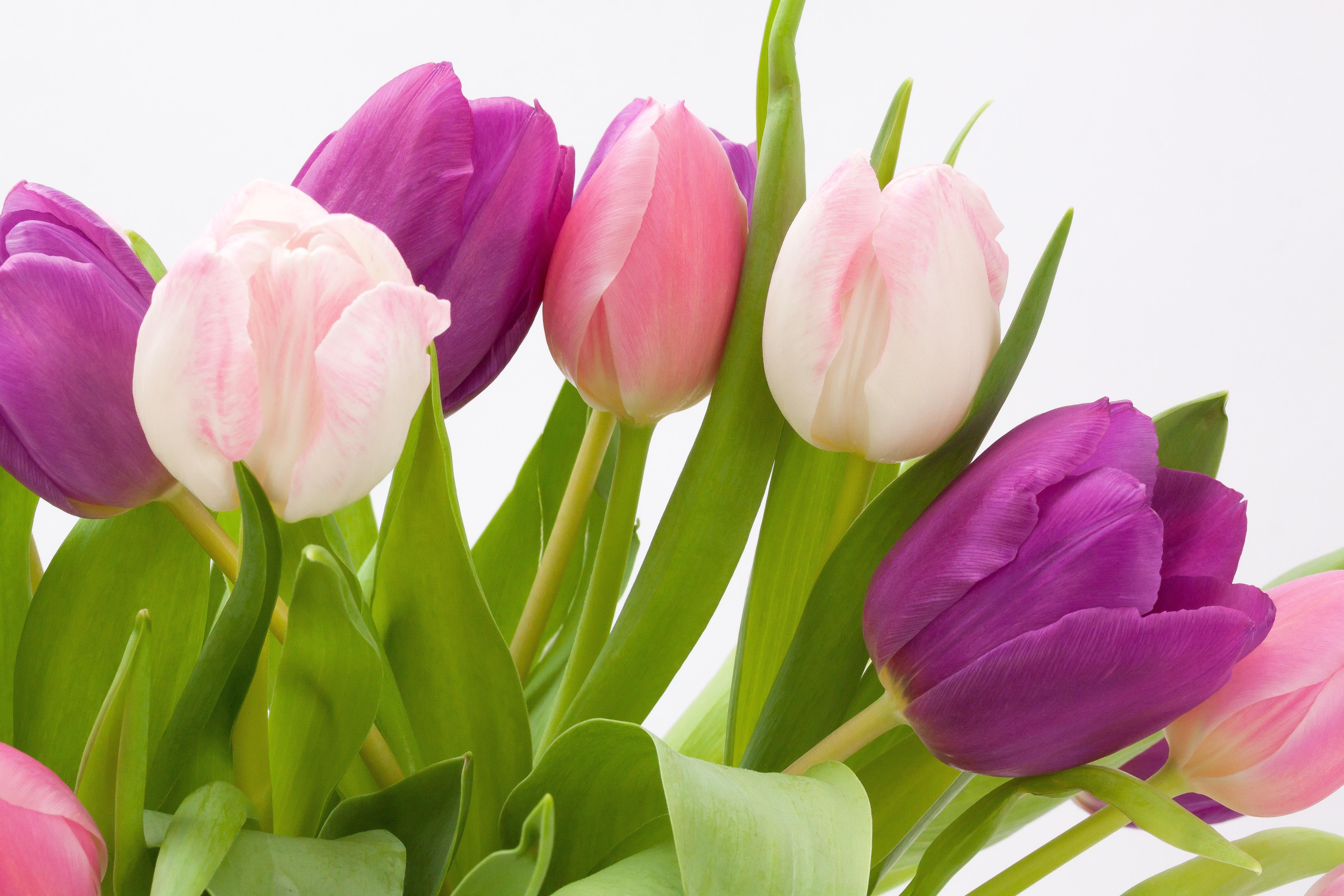 Blossom Plant Leaf Flower Petal Bloom Tulip Bouquet Green Red Pink Violet Spring Flowering