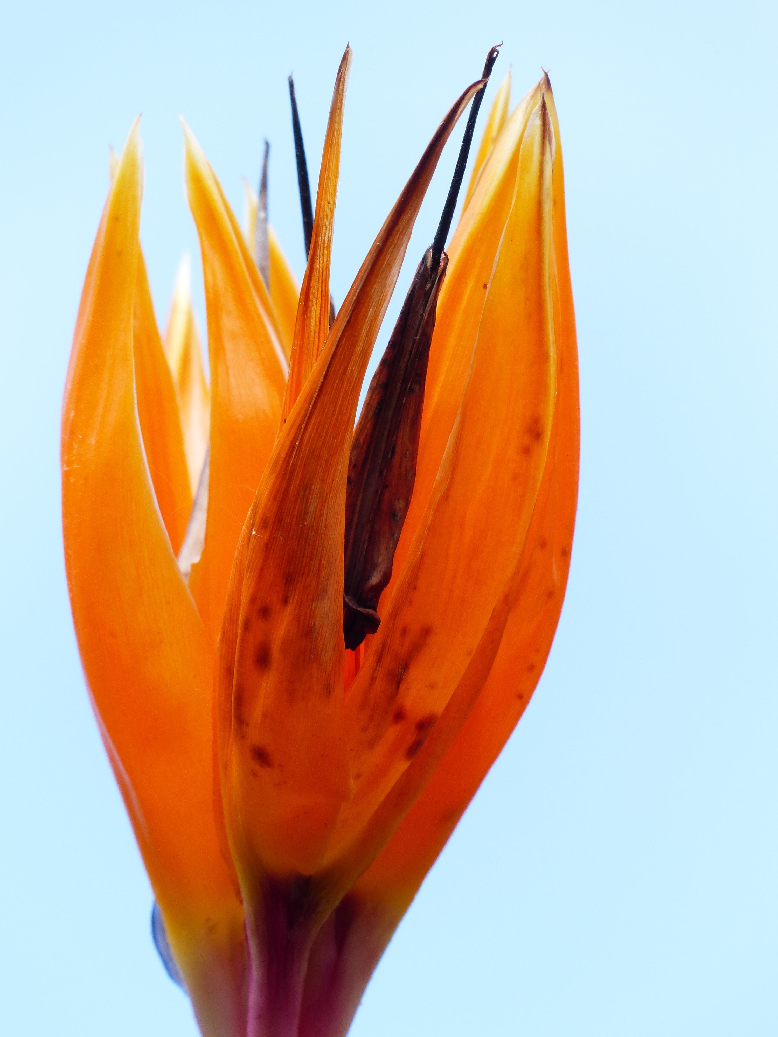 Free Images : blossom, leaf, petal, bloom, tulip, red, color, blue ...
