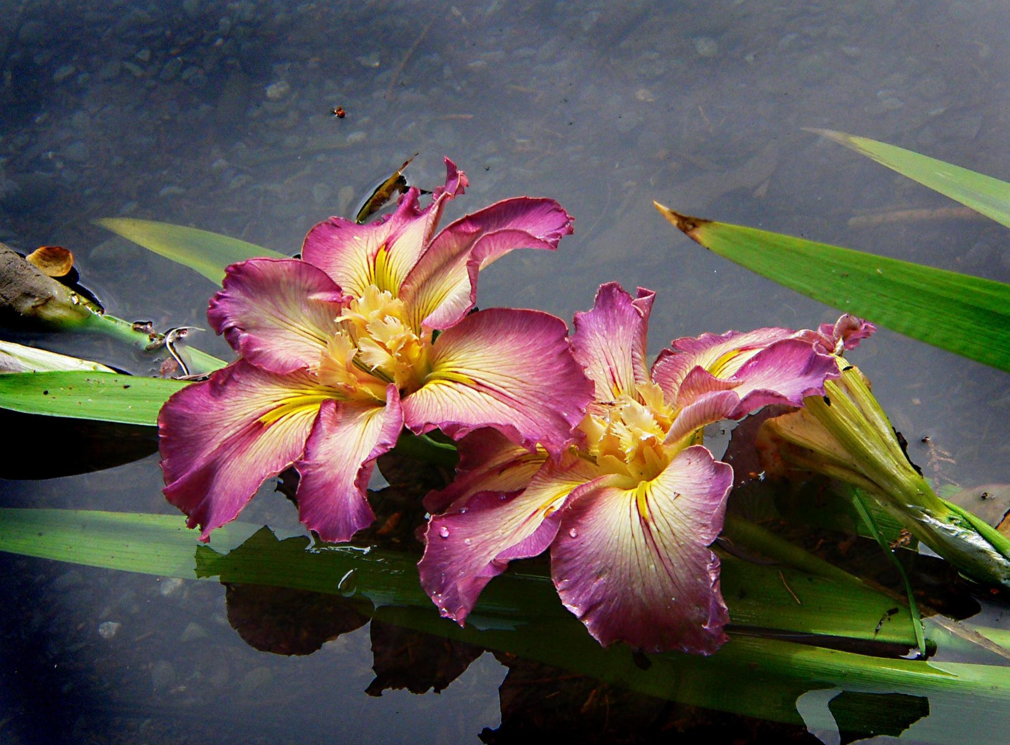 Fotos Gratis Flor Hoja Petalo Botanica Flora Flores Iris