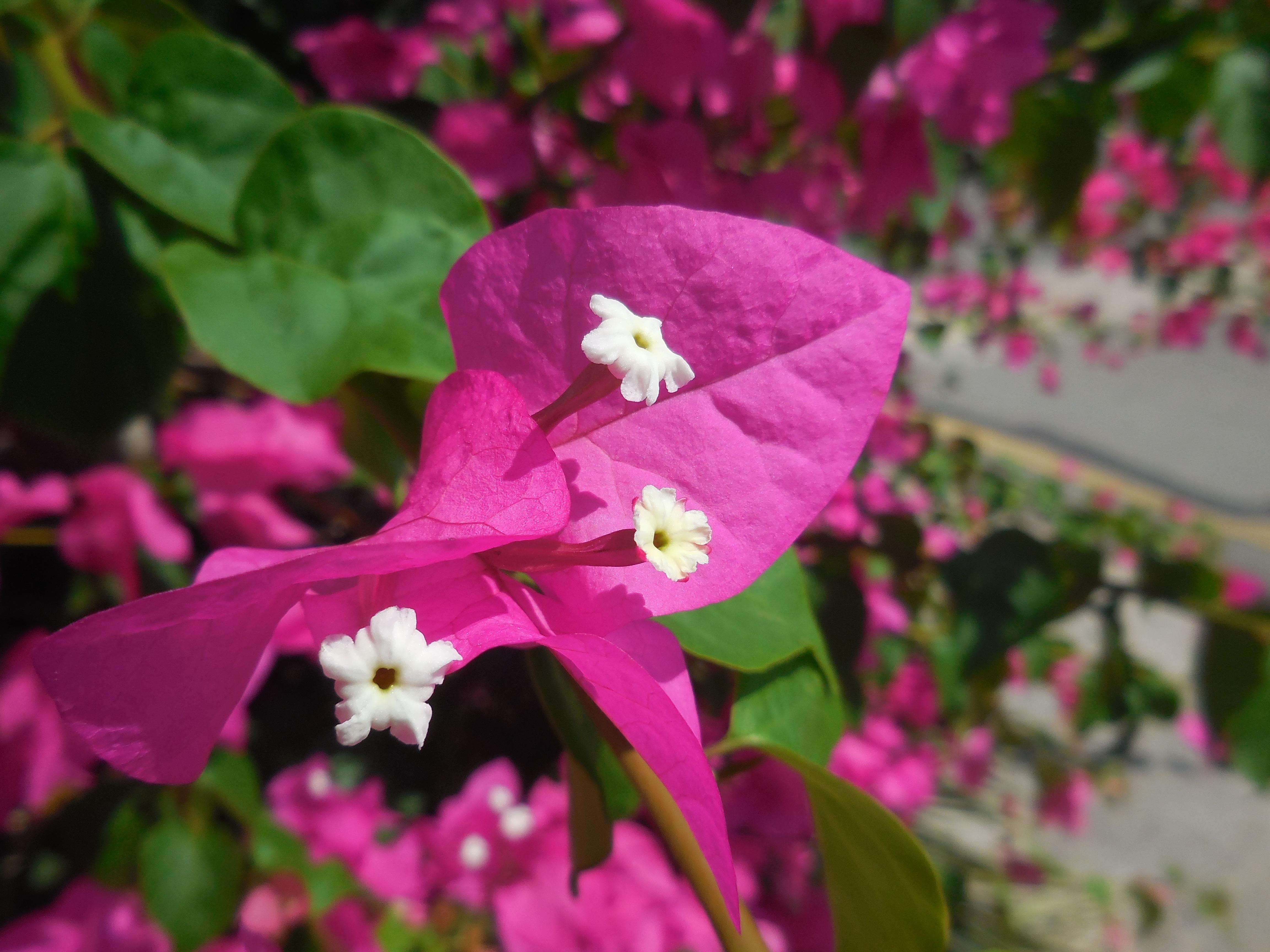 Bougainville Fleur dedans images gratuites : fleur, feuille, pétale, buisson, botanique
