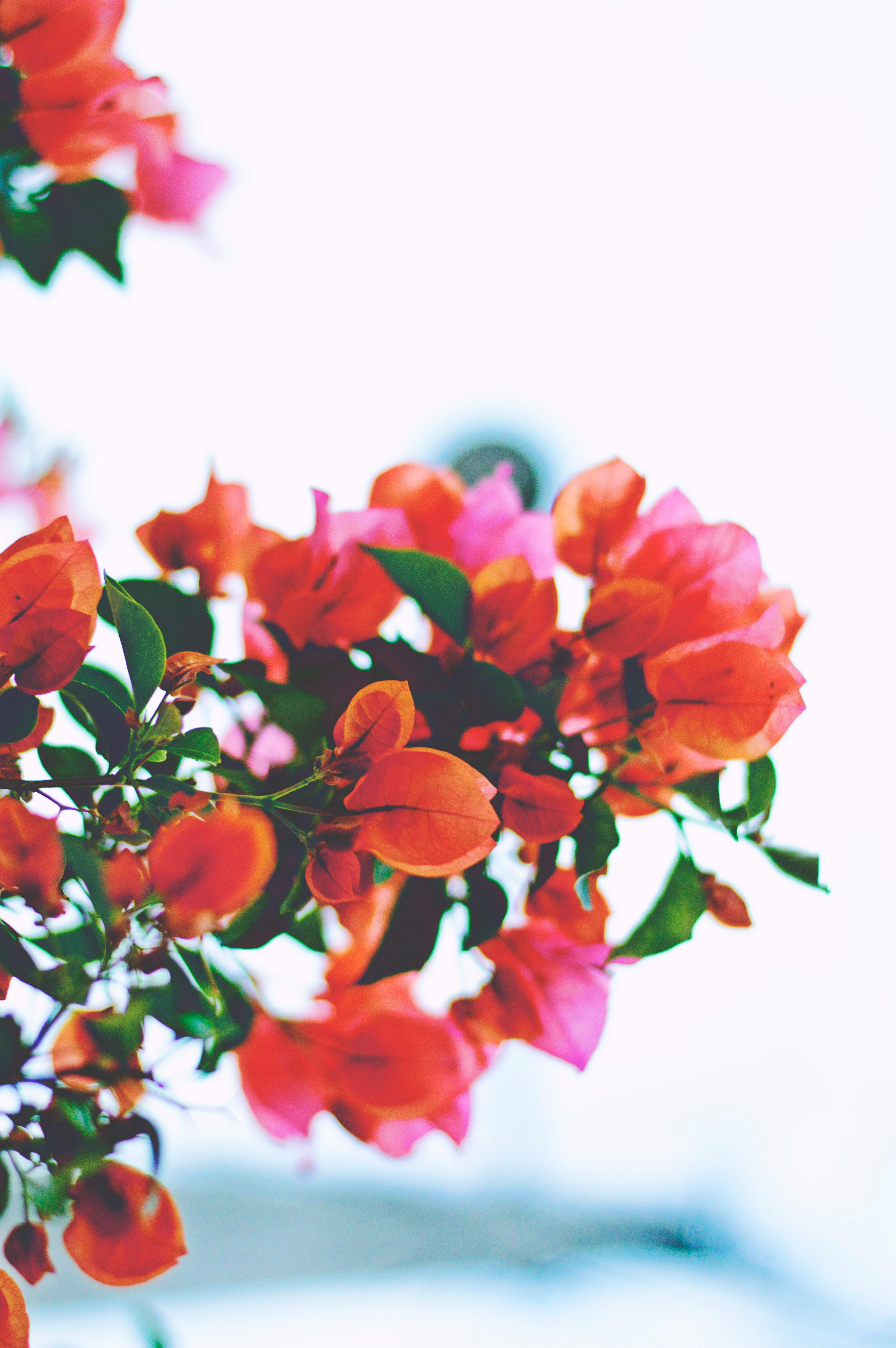 Fotos gratis flor hoja p talo floral rojo flora - Cortar hierba alta ...