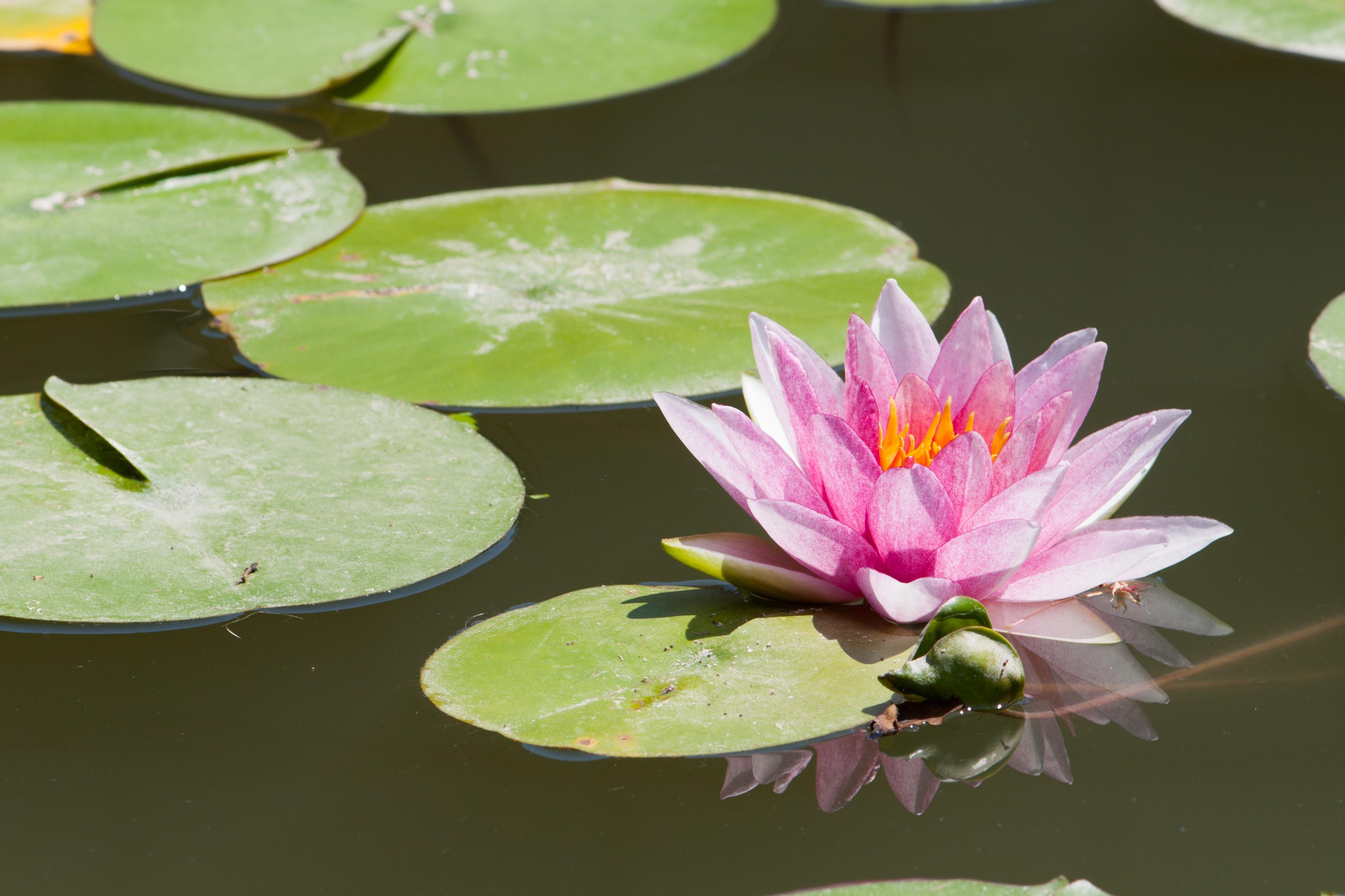 Free Images Blossom Leaf Flower Petal Lake Pond Green