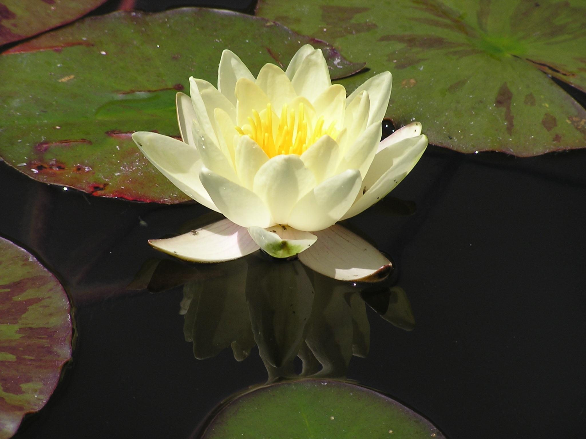 Free Images Blossom Leaf Flower Petal Pond Green Reflection