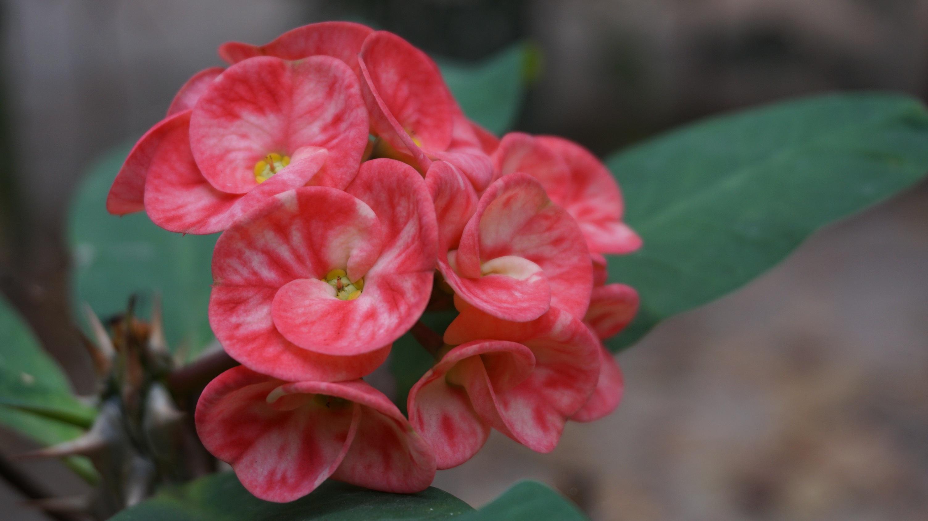 images gratuites fleur feuille p tale rouge tropical botanique jardin rose flore. Black Bedroom Furniture Sets. Home Design Ideas