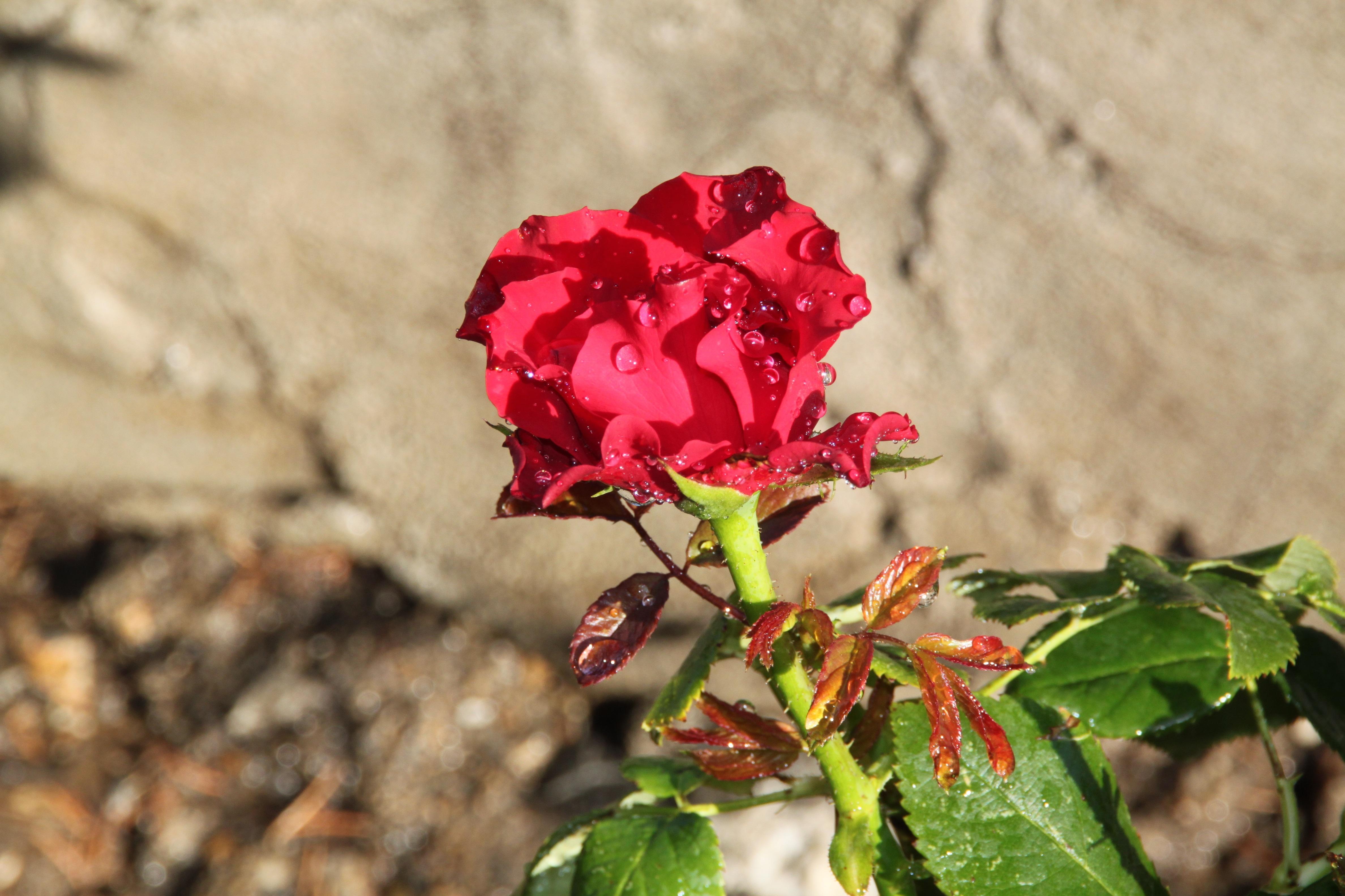 последний картинки с дикими розами вертикальным линиям шее