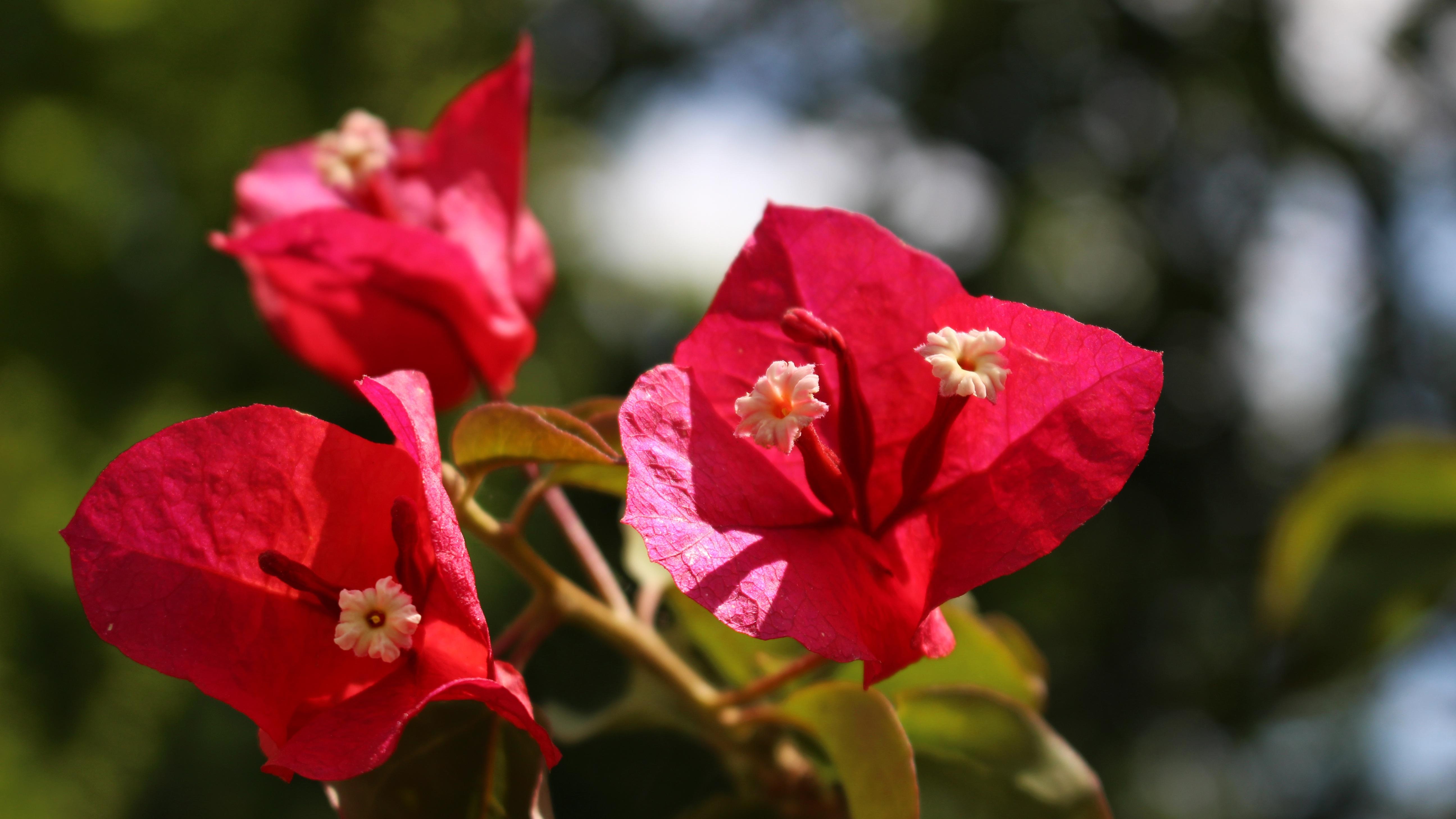 images gratuites : fleur, feuille, pétale, rouge, botanique, flore