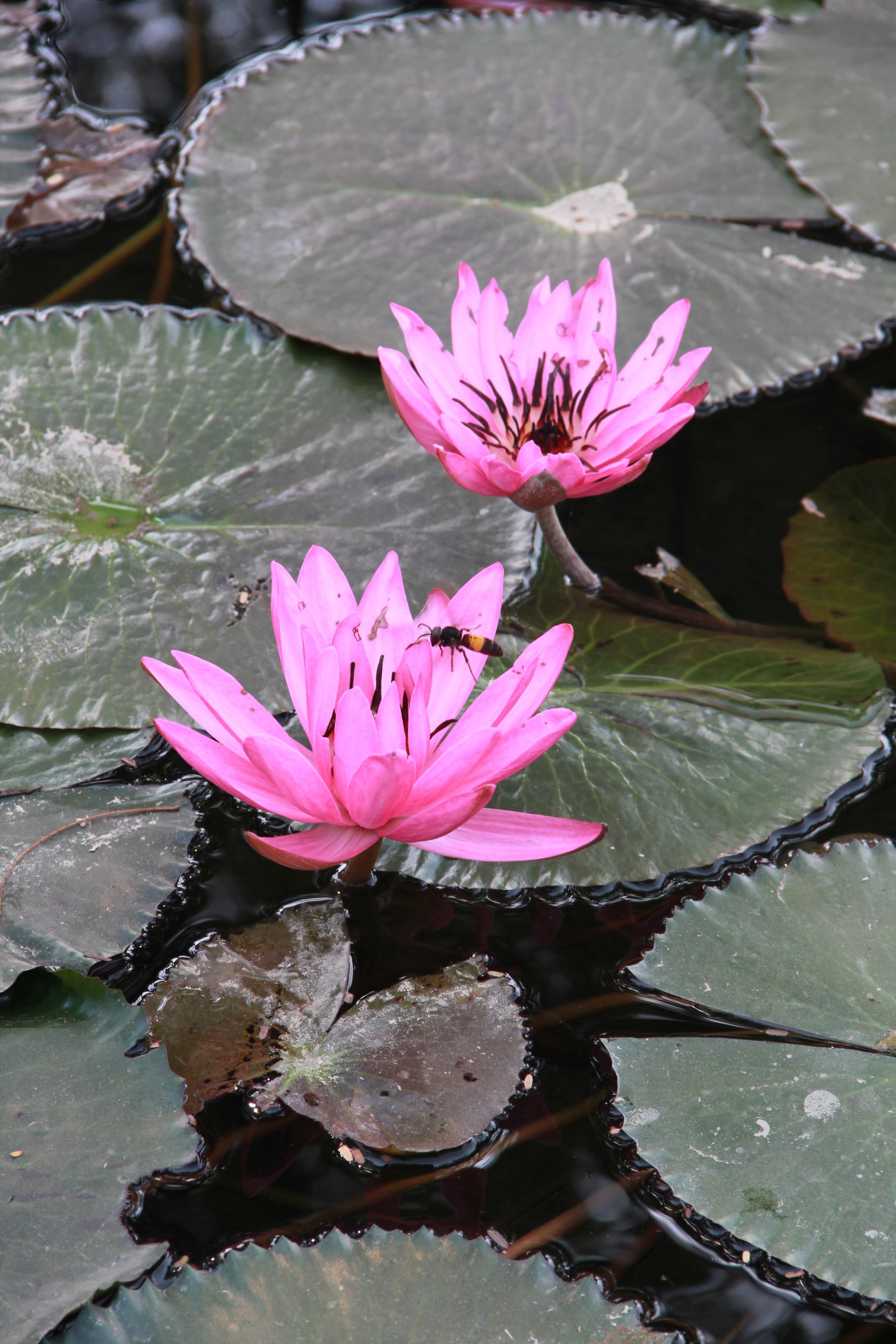 Images Gratuites Feuille Petale Ete Botanique Plante Aquatique