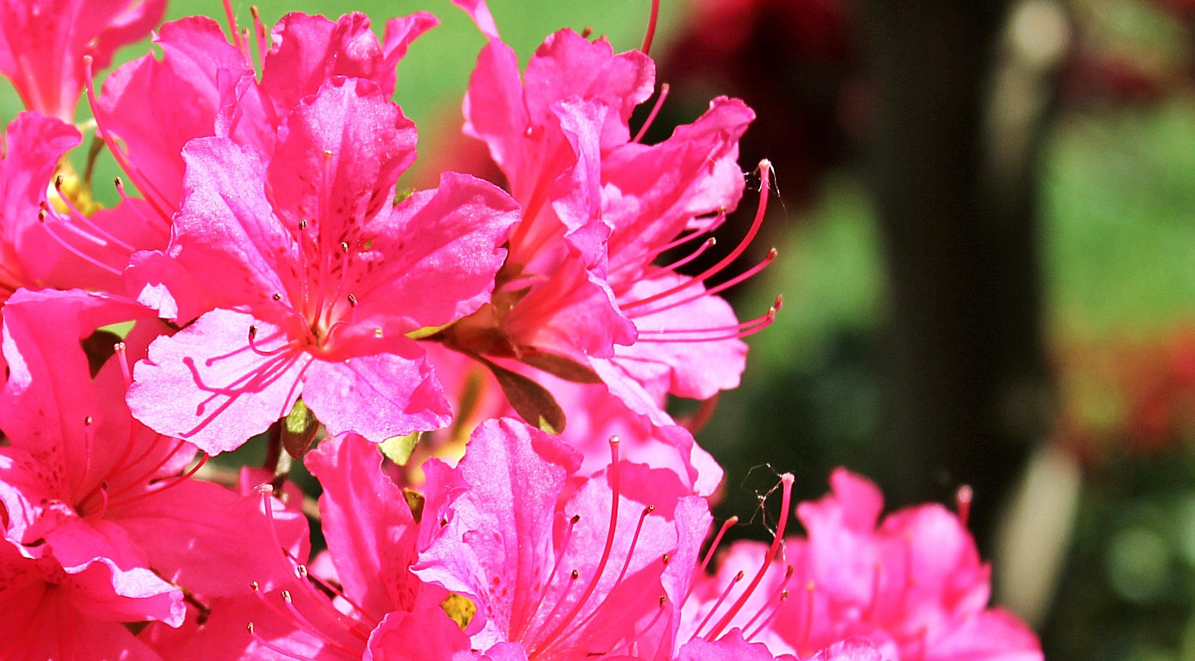 Free images blossom leaf flower petal summer bush spring blossom plant leaf flower petal summer bush spring botany garden pink flora flowers background shrub bright mightylinksfo