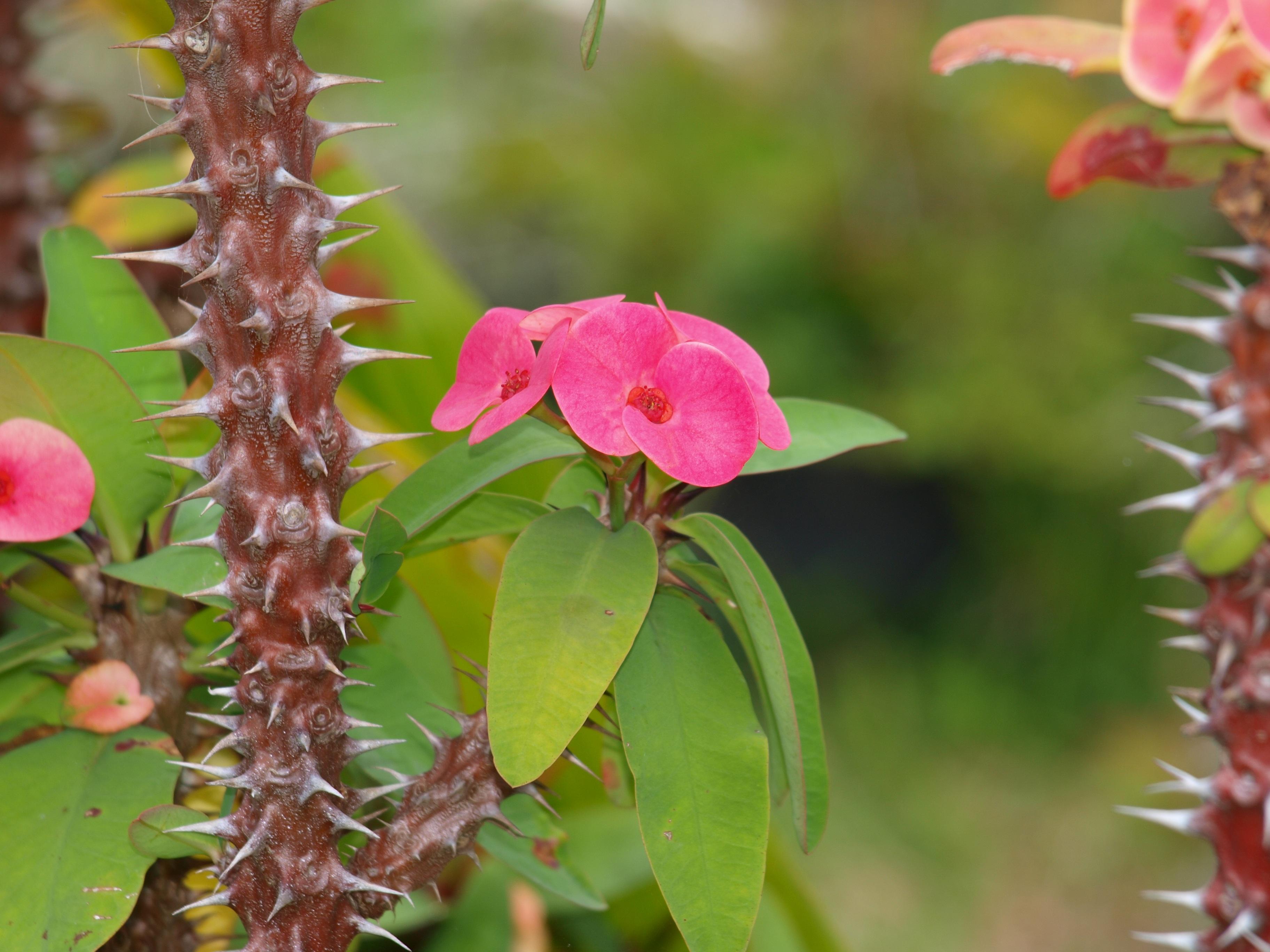 цветок эуфорбия фото невеста, выбирая