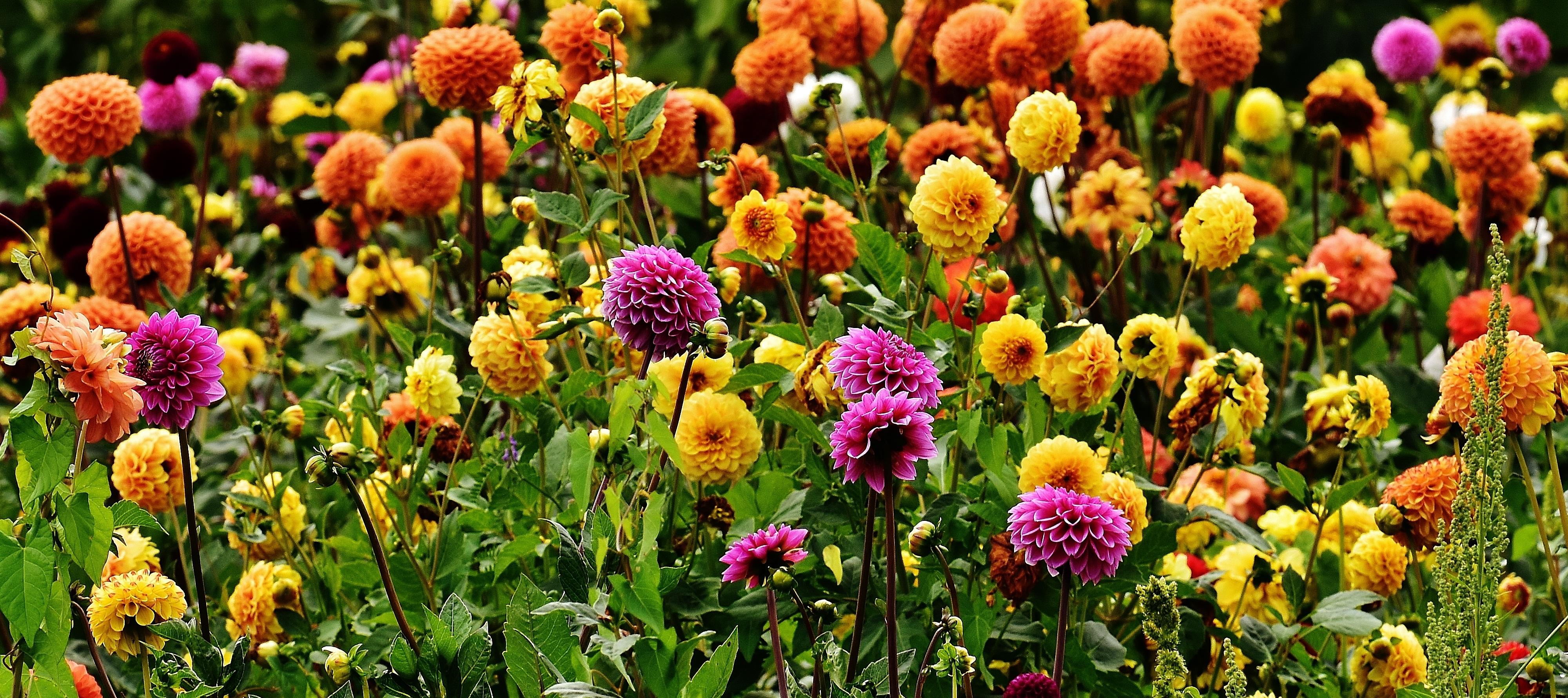 Blossom Plant Meadow Flower Bloom Tulip Autumn Botany Garden Flora  Wildflower Dahlia Asteraceae Dahlias Flower Garden