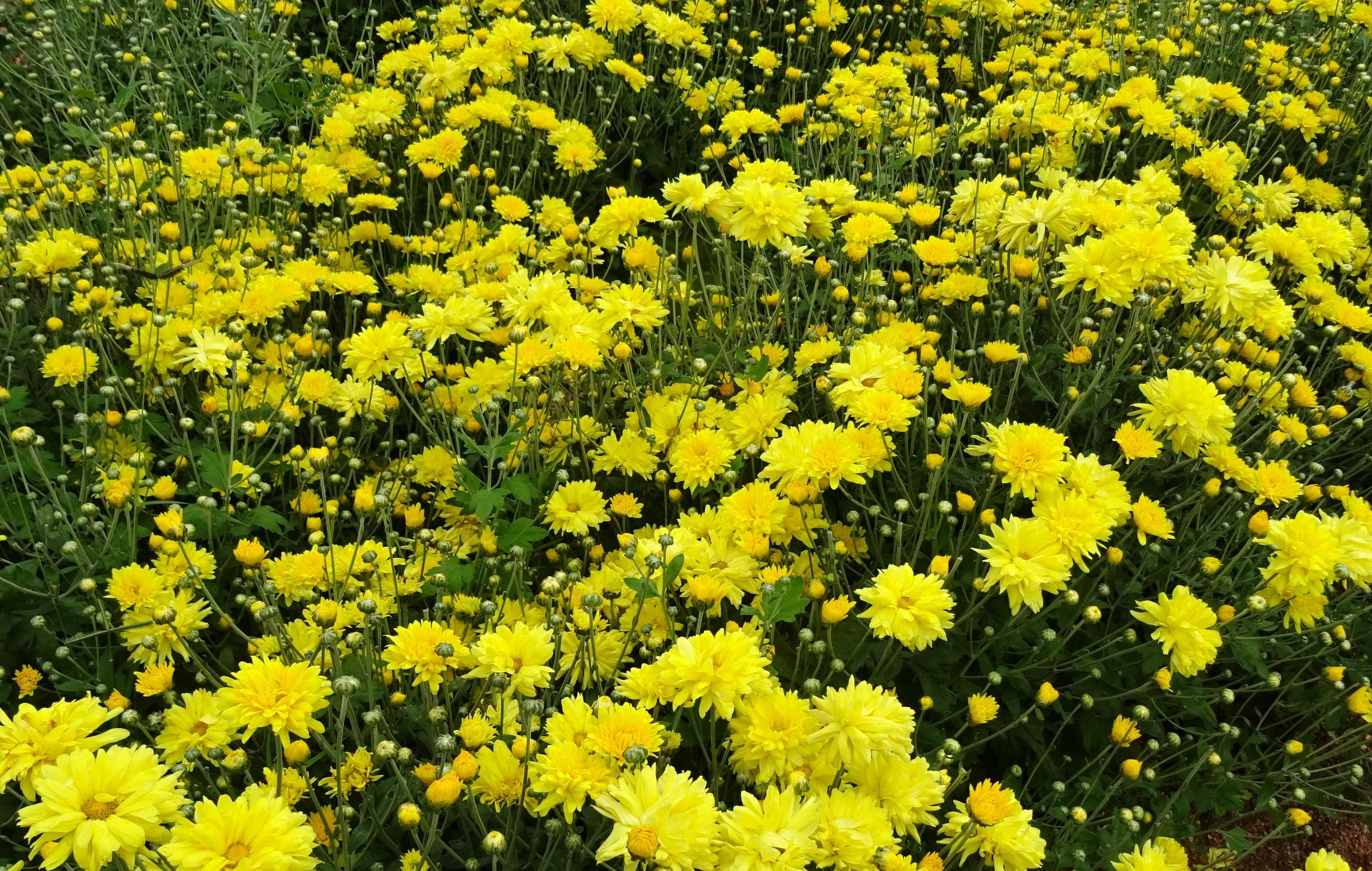 Free images blossom meadow flower bloom yellow flora blossom plant meadow flower bloom yellow flora wildflower shrub asteraceae india annual chrysanthemum flowering tansy flowering mightylinksfo