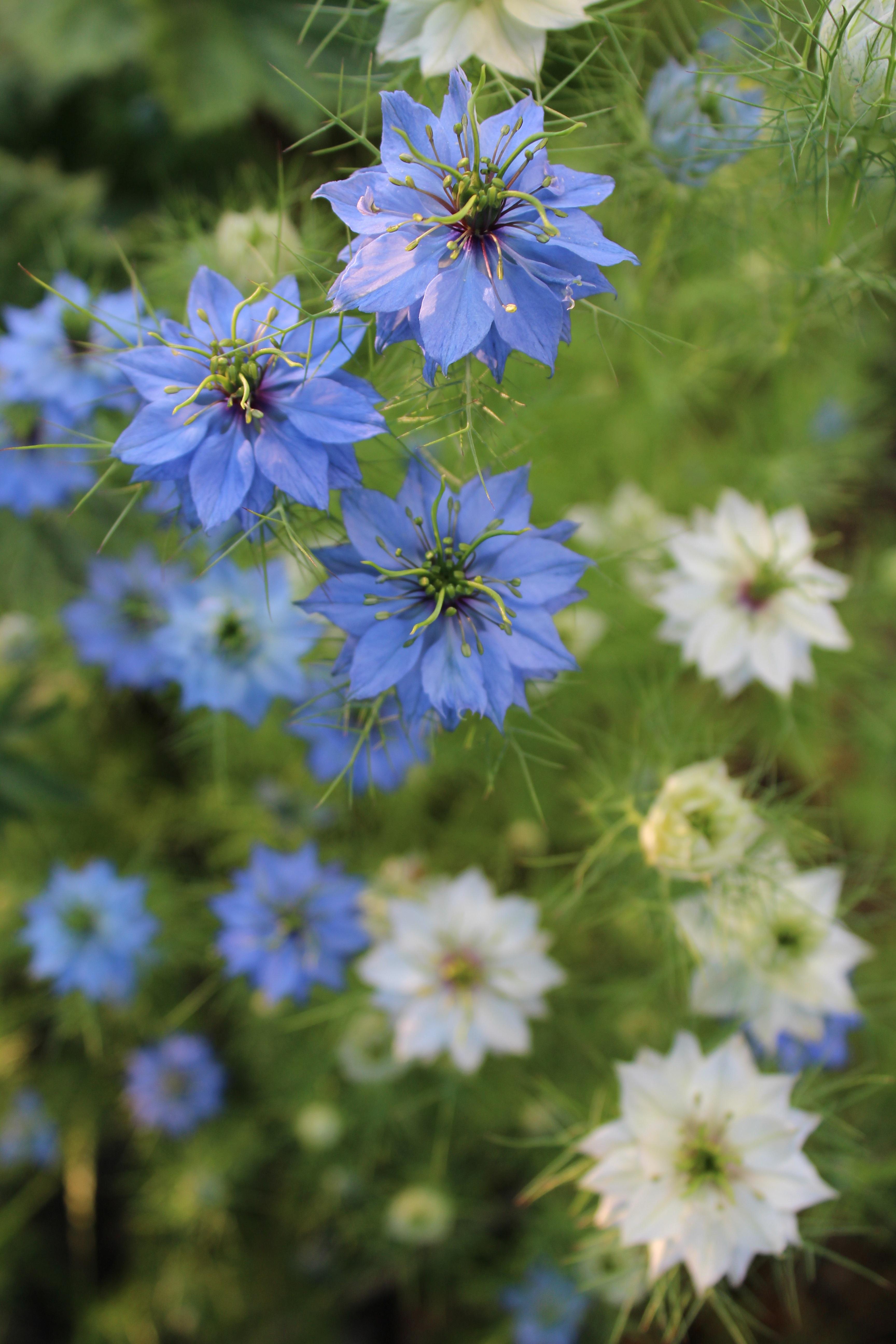 images gratuites prairie herbe produire botanique jardin flore fleur bleue fleur. Black Bedroom Furniture Sets. Home Design Ideas