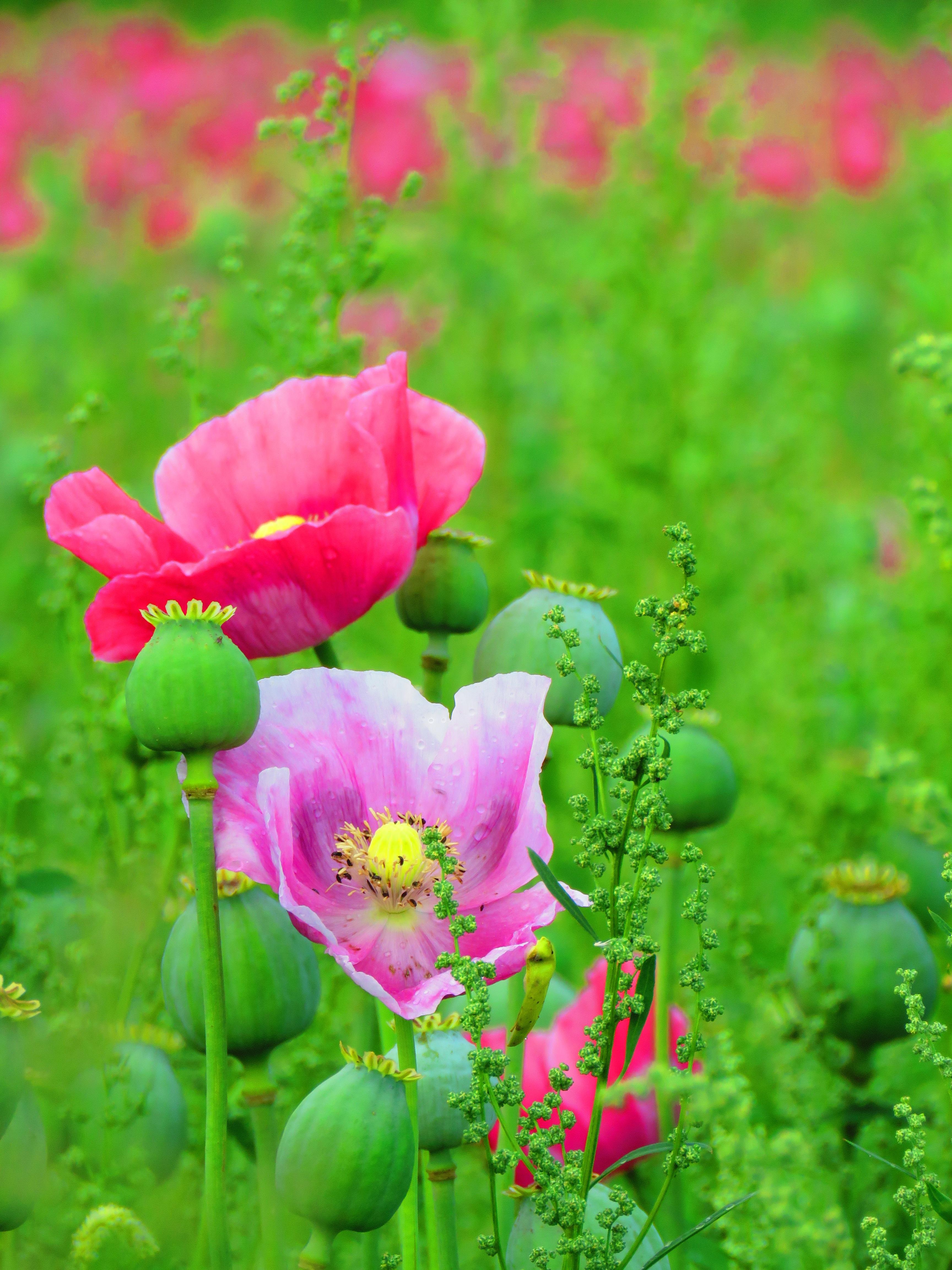 Free Images Blossom Meadow Petal Bloom Rose Botany Flora