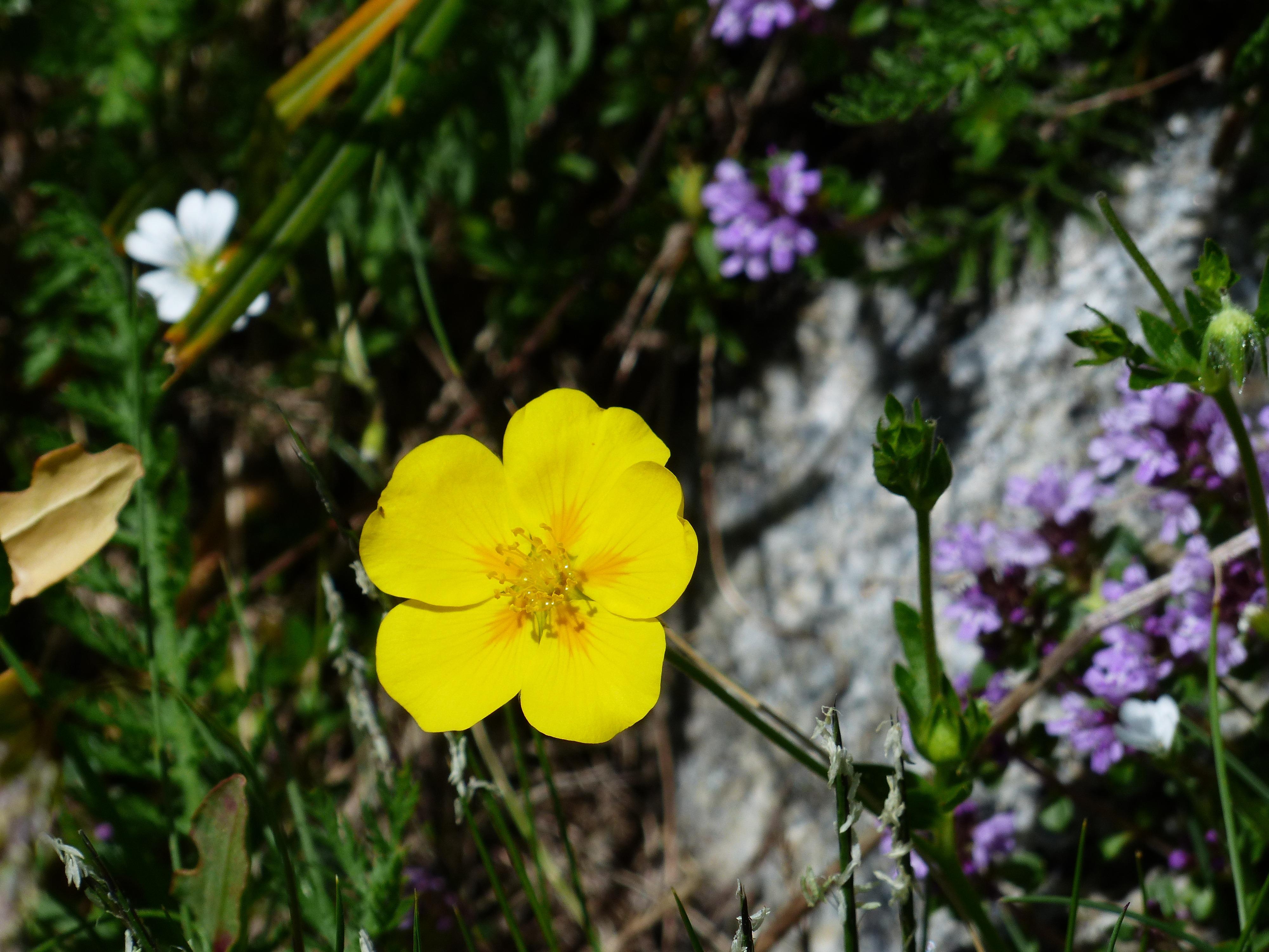 images gratuites fleur prairie p tale floraison printemps jaune flore fleur sauvage. Black Bedroom Furniture Sets. Home Design Ideas