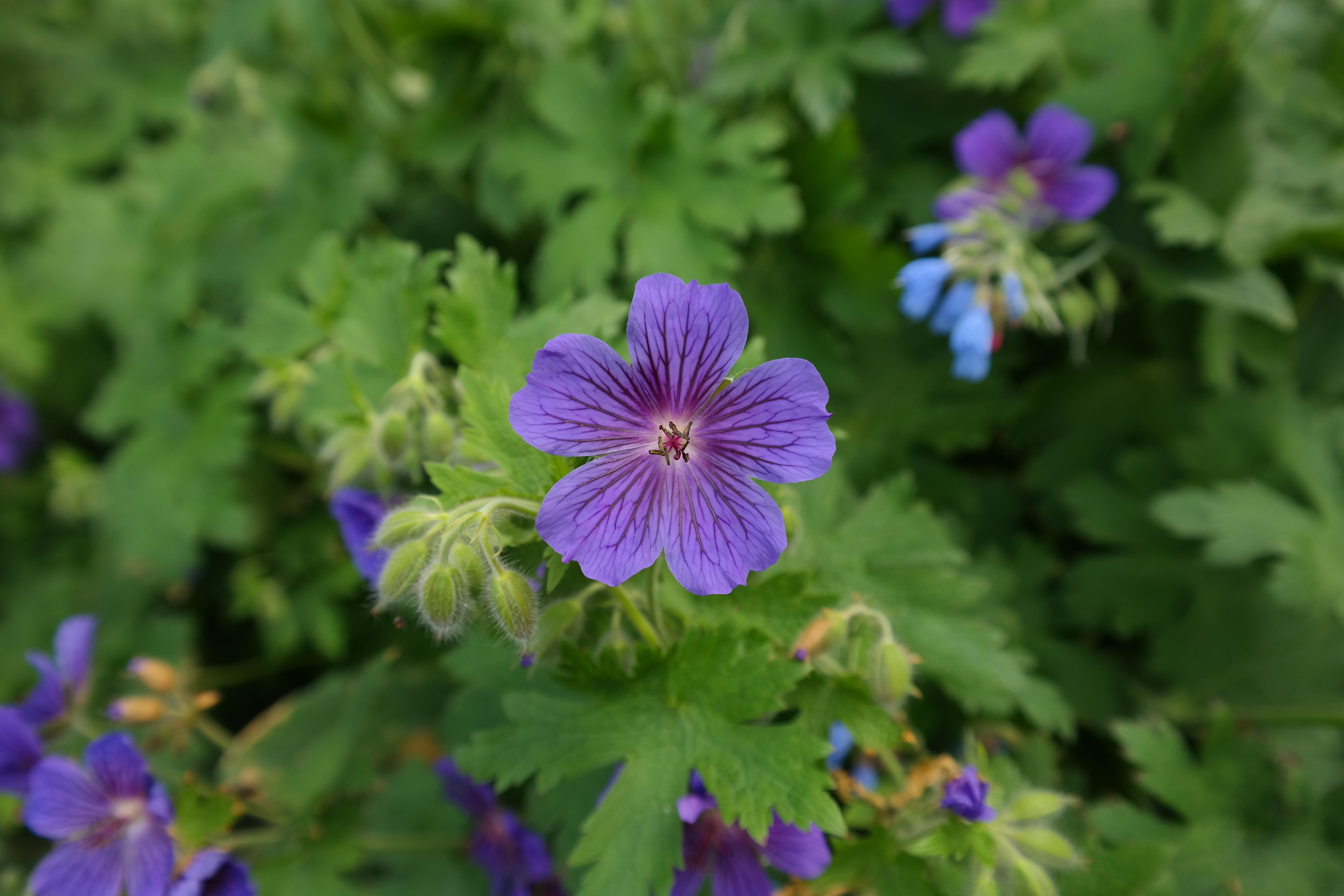 Images gratuites prairie violet floraison vert for Plante ornementale des jardins