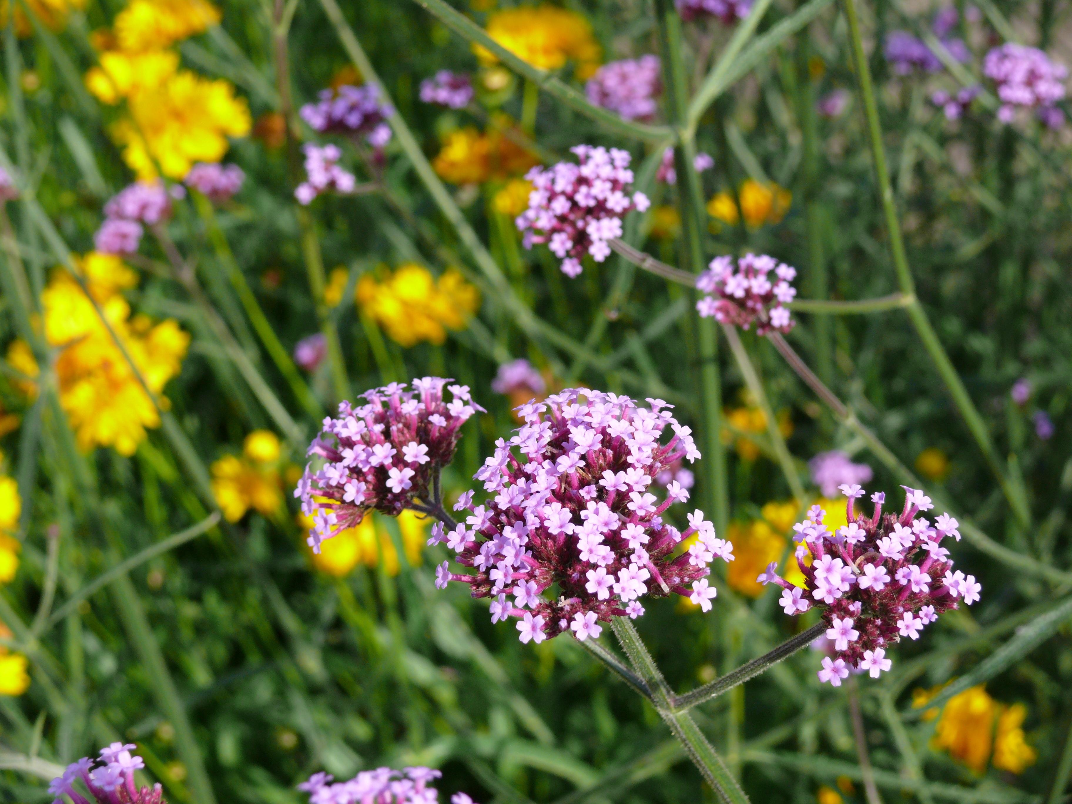 Images Gratuites : fleur, Prairie, violet, floral, herbe, botanique ...