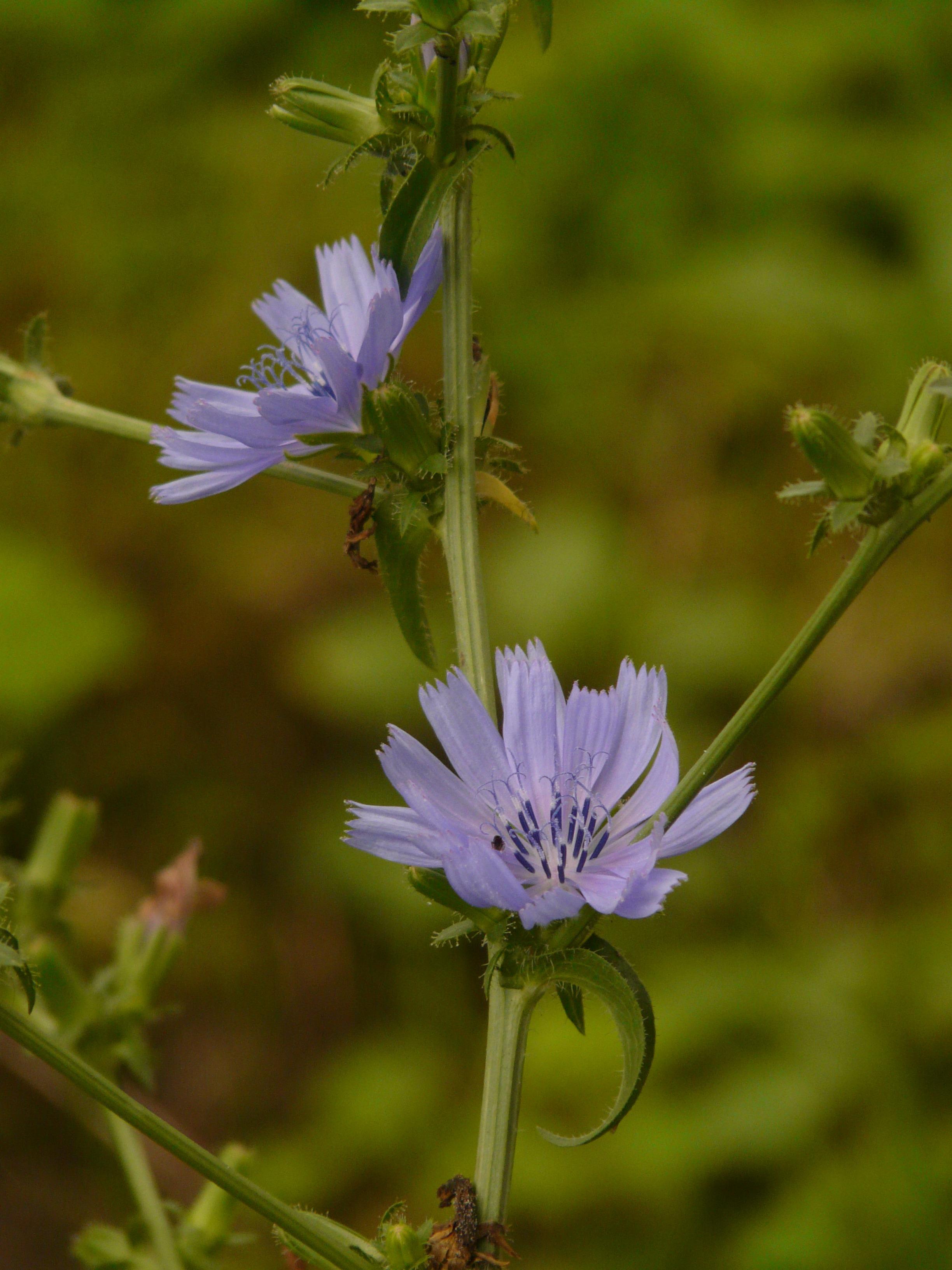 Kostenlose Foto Blühen Wiese Prärie Blume Lebensmittel Kraut