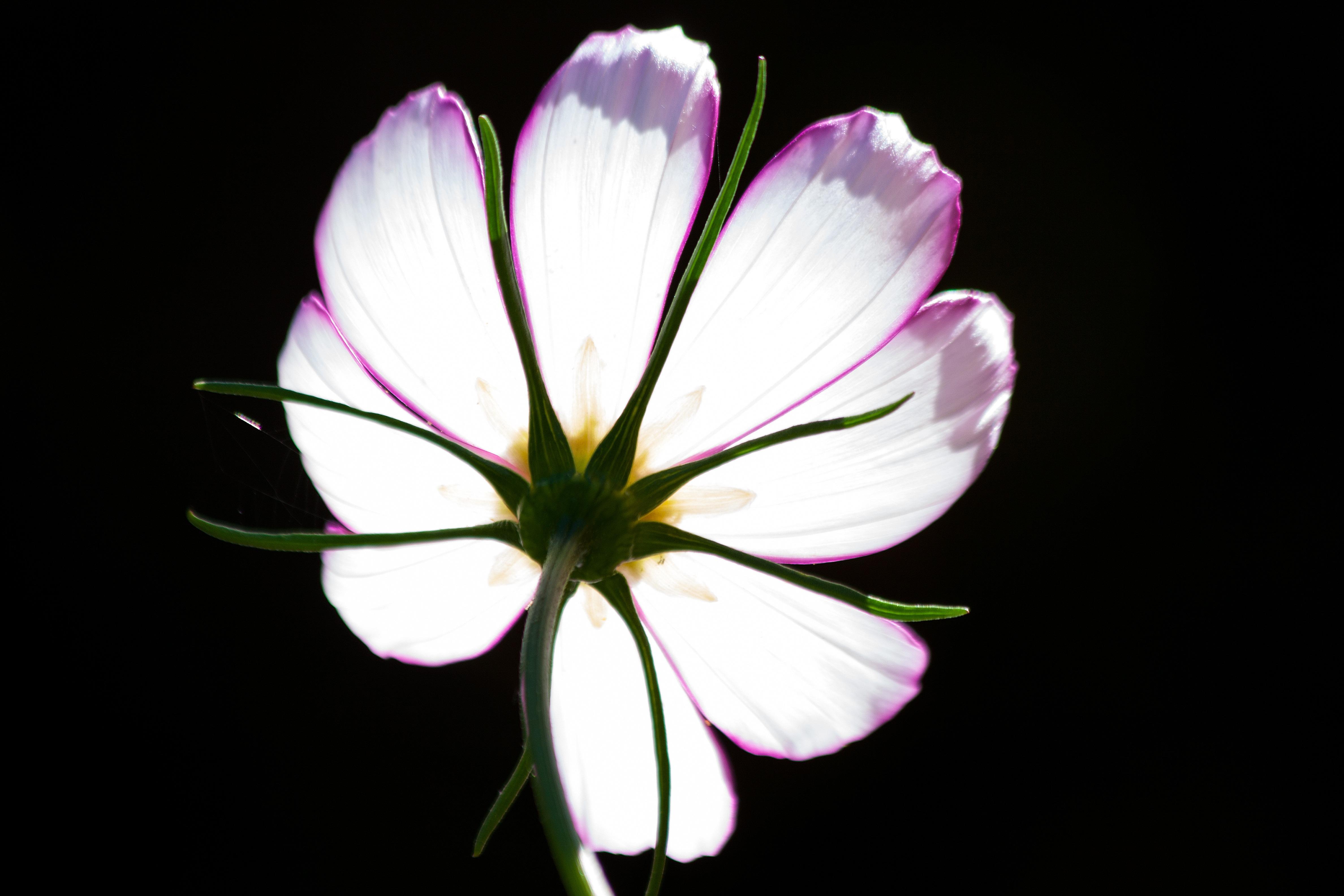 Kostenlose foto : blühen, Fotografie, Kosmos, Blume, Blütenblatt ...