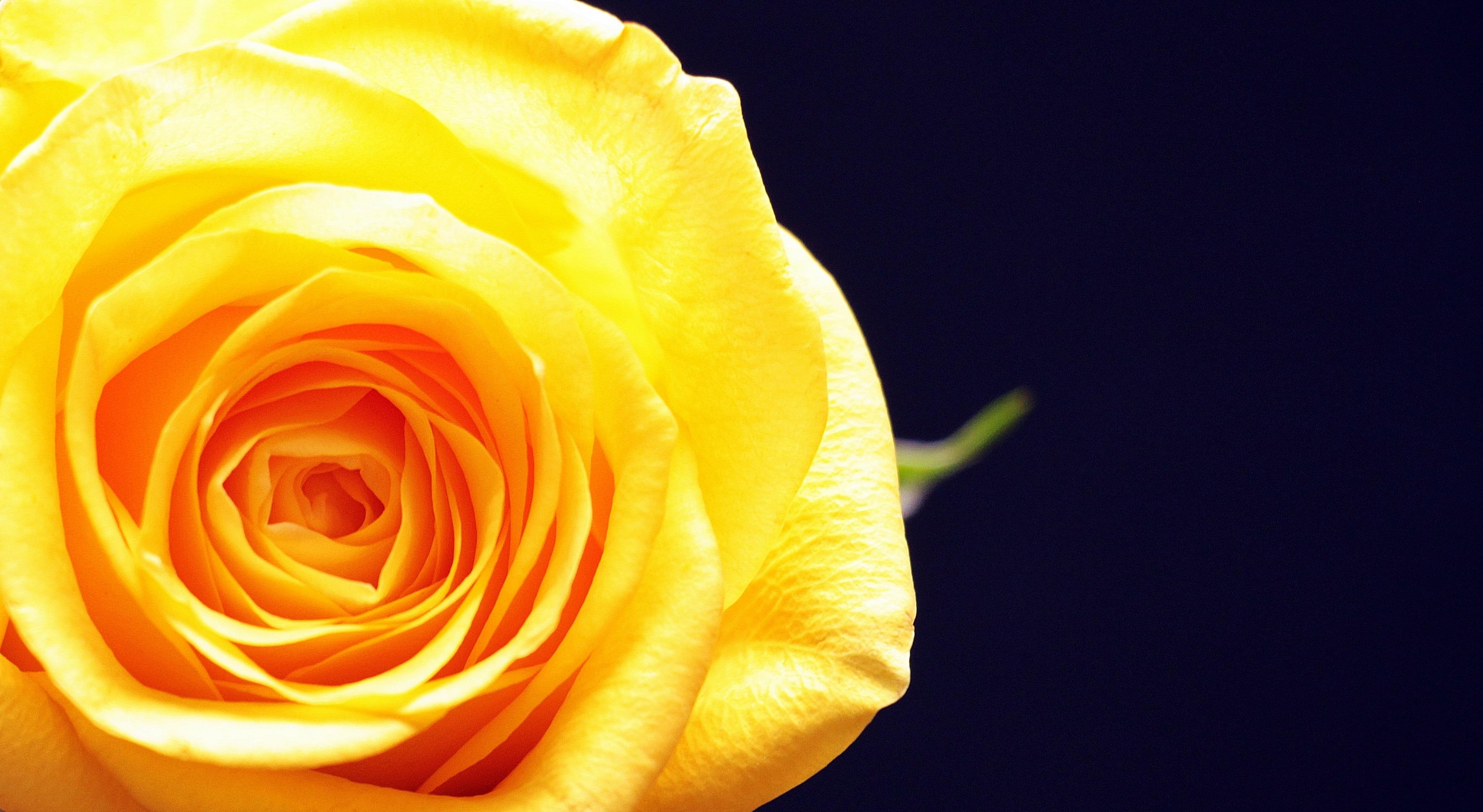 Free Images : blossom, petal, love, black, yellow flower ...