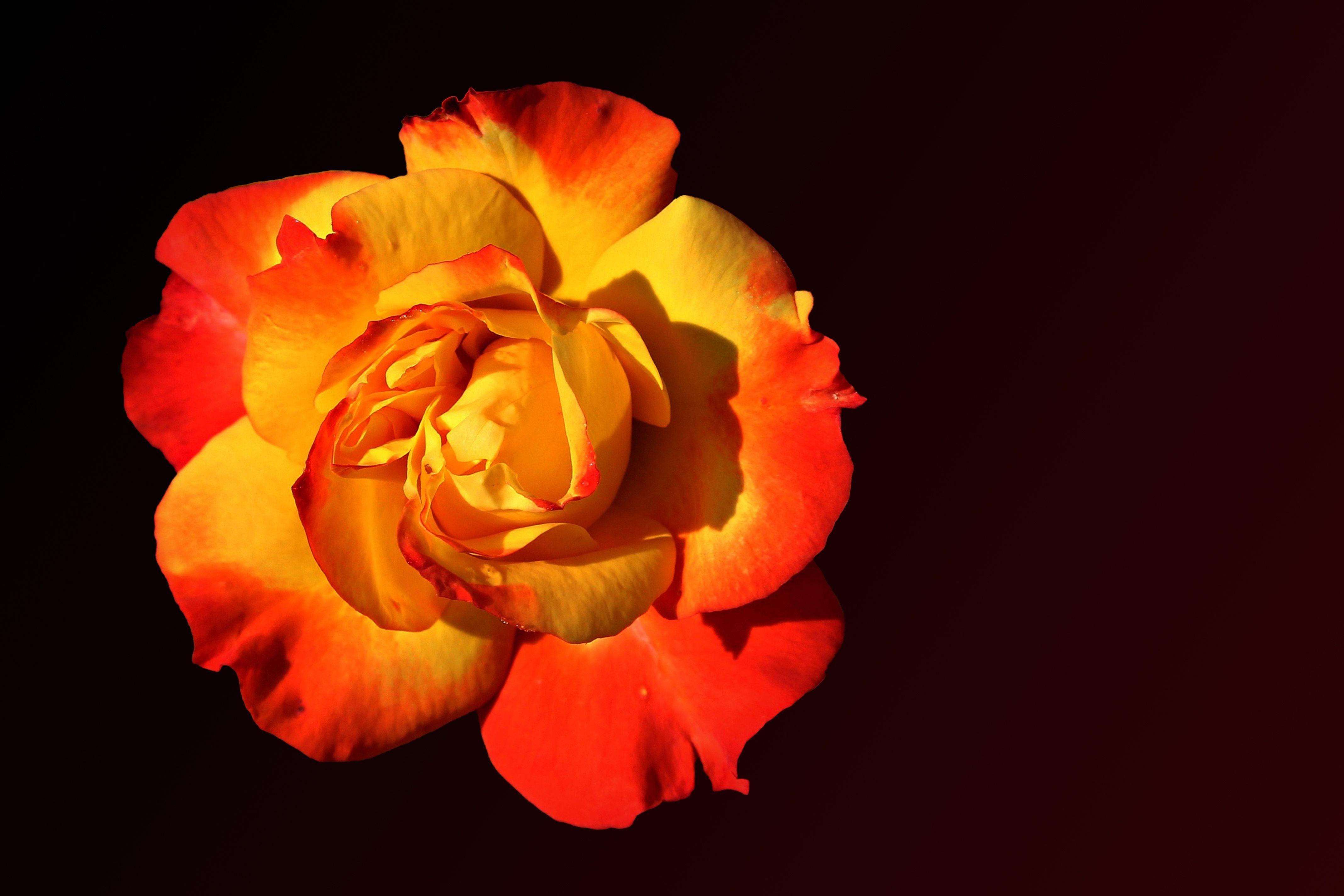 Fotos Gratis Flor Fotografía Pétalo Florecer Rosa Color Amarillo Flora De Cerca Floribunda Fotografía Macro Floreció Flores De Rosas Planta Floreciendo Rosas De Jardín Familia Rosa Amarillo Rojo Tallo De La