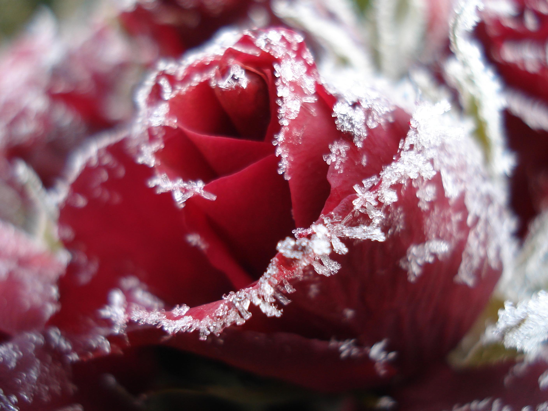 замороженные цветы фото тоже подойдут резные