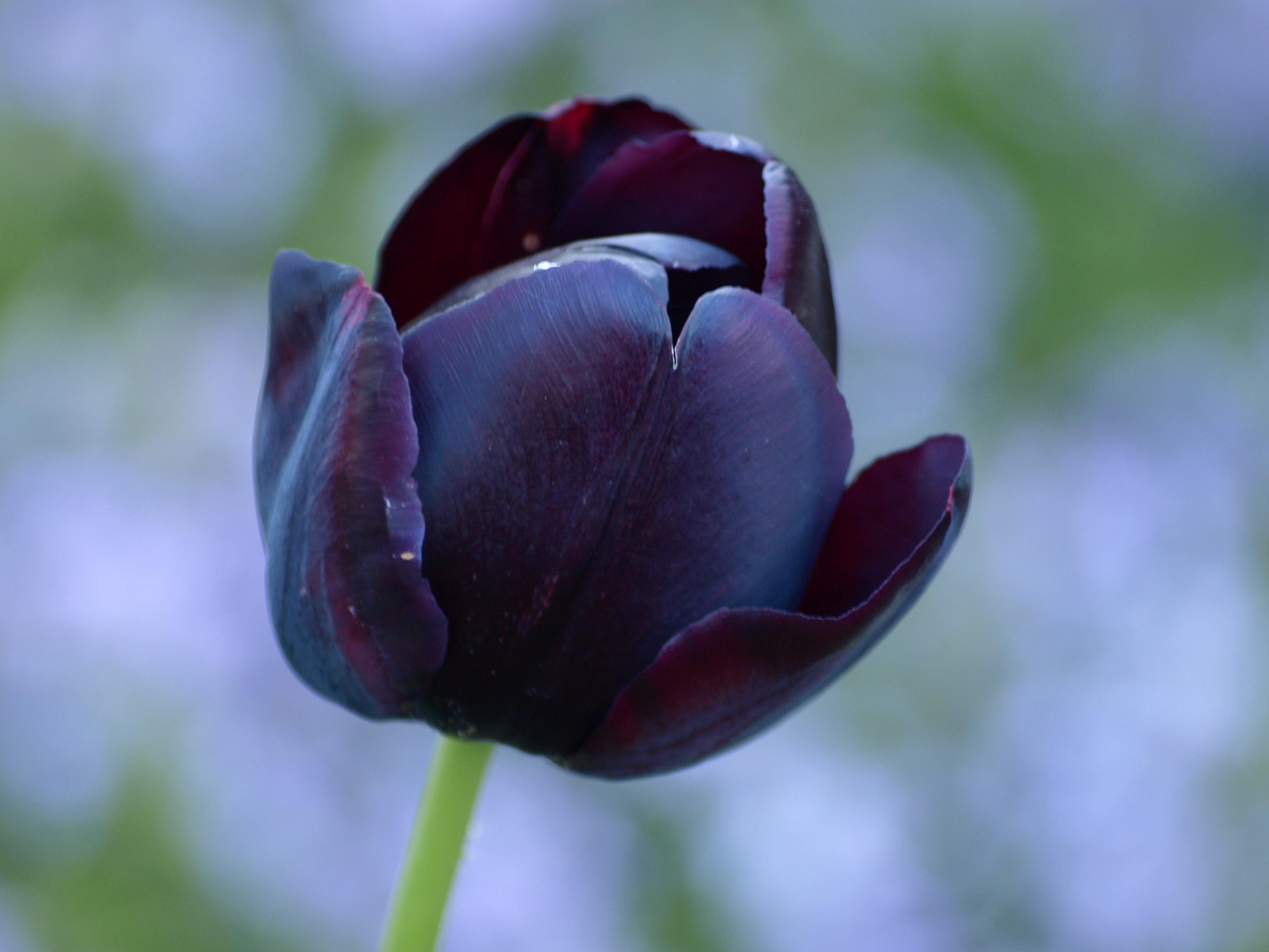 нете искал, бывают ли черные тюльпаны фото перегородки алюминиевые деревянные