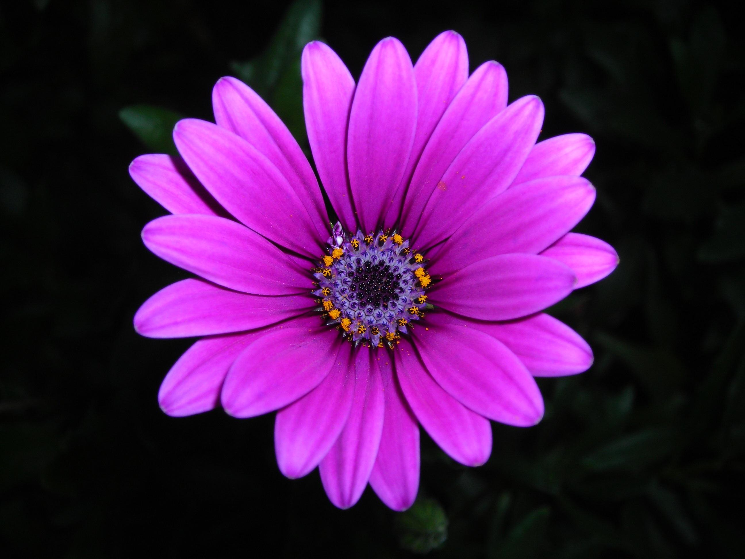Free Images Blossom Flower Purple Petal Pink Flora Close Up