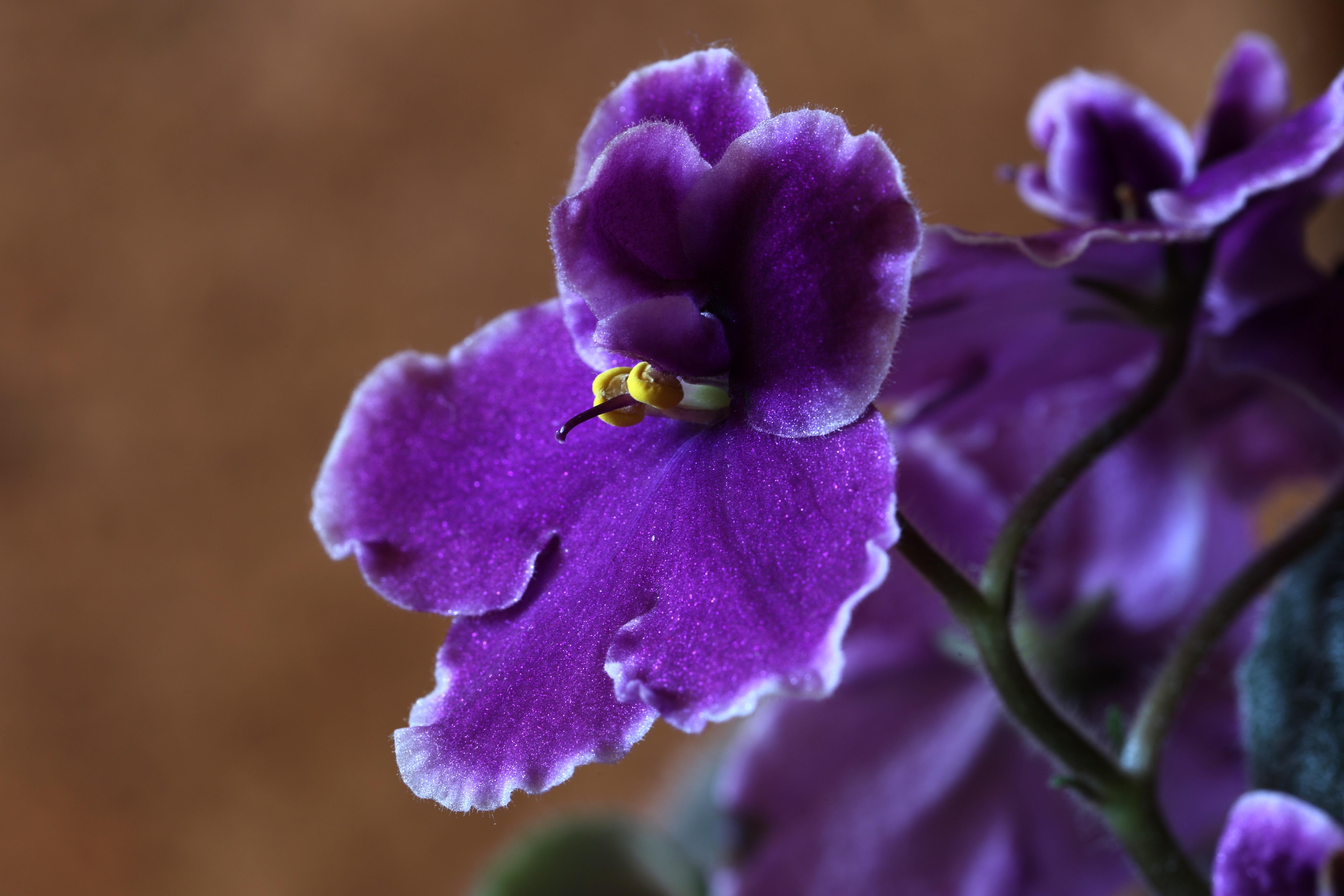 Цветок сенполия картинка