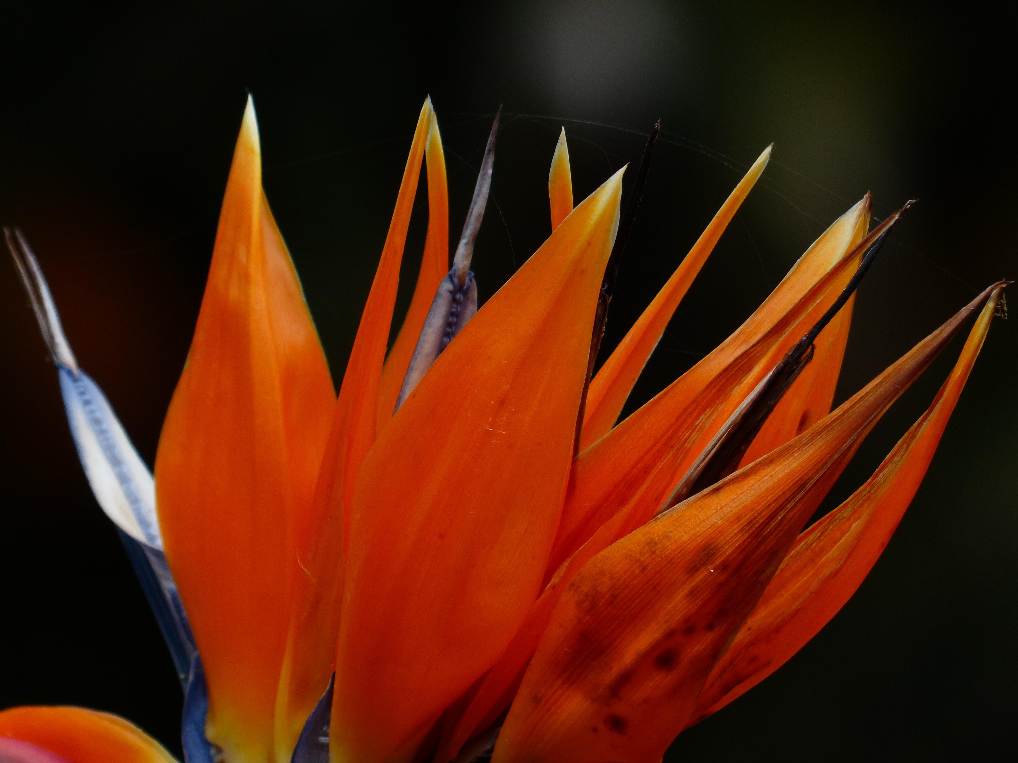 Free Images : blossom, leaf, petal, bloom, red, color, botany, blue ...