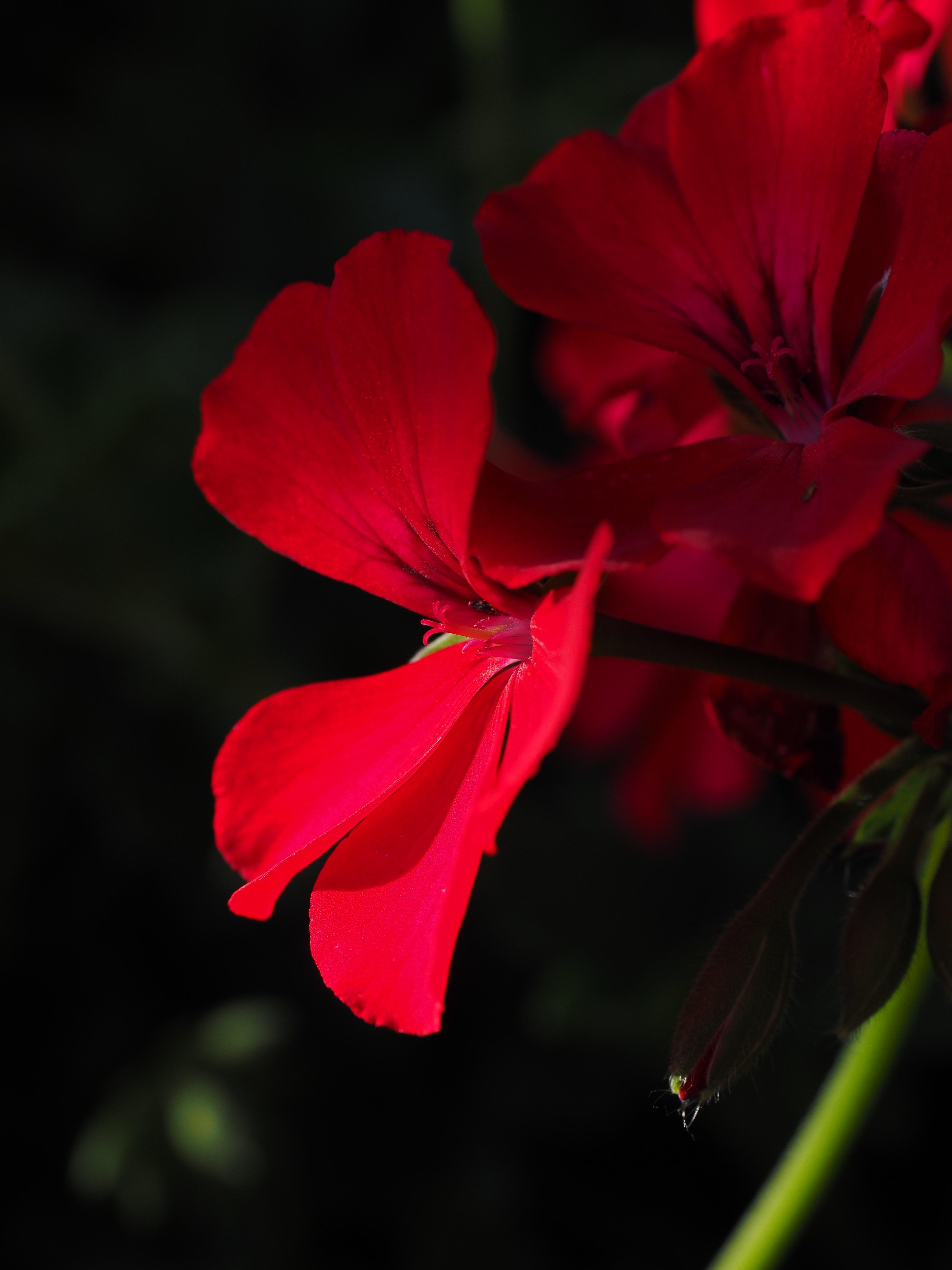 Цветок ярко красные цветы фото