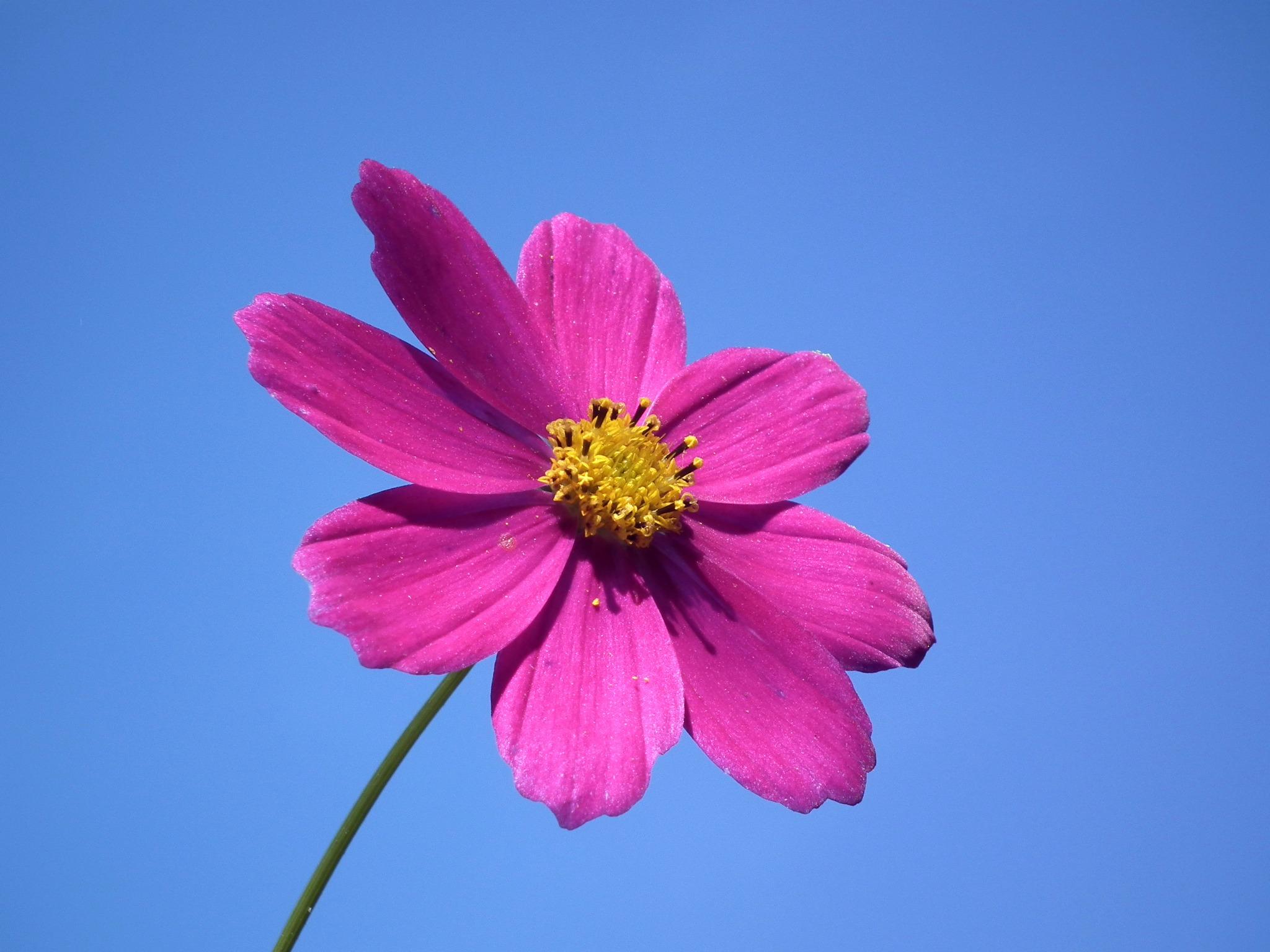 Bakgrundsbilder Kronblad Sommar Pollen Makro Rosa