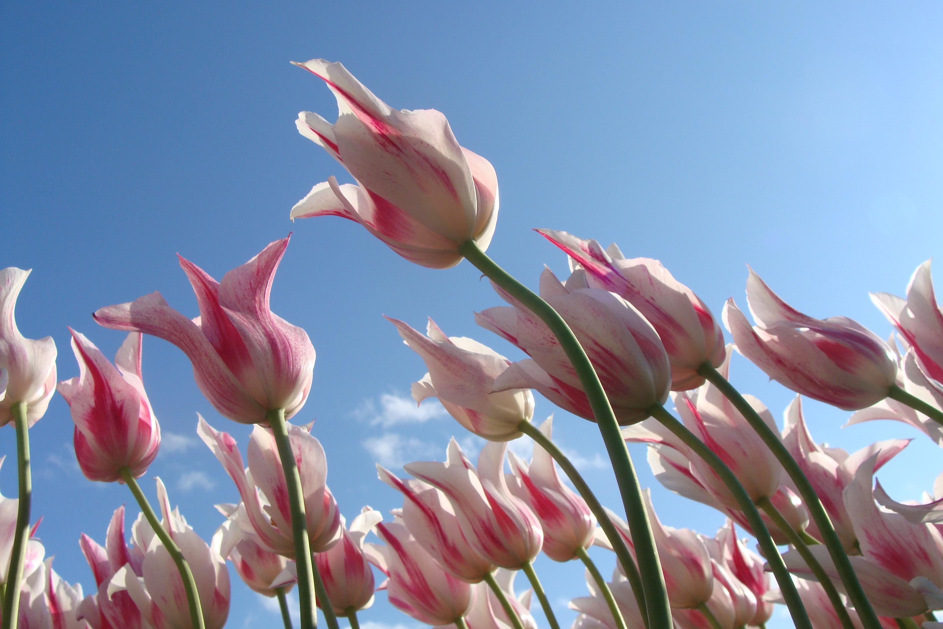 Free Images Blossom Sky Flower Petal Tulip Spring Botany