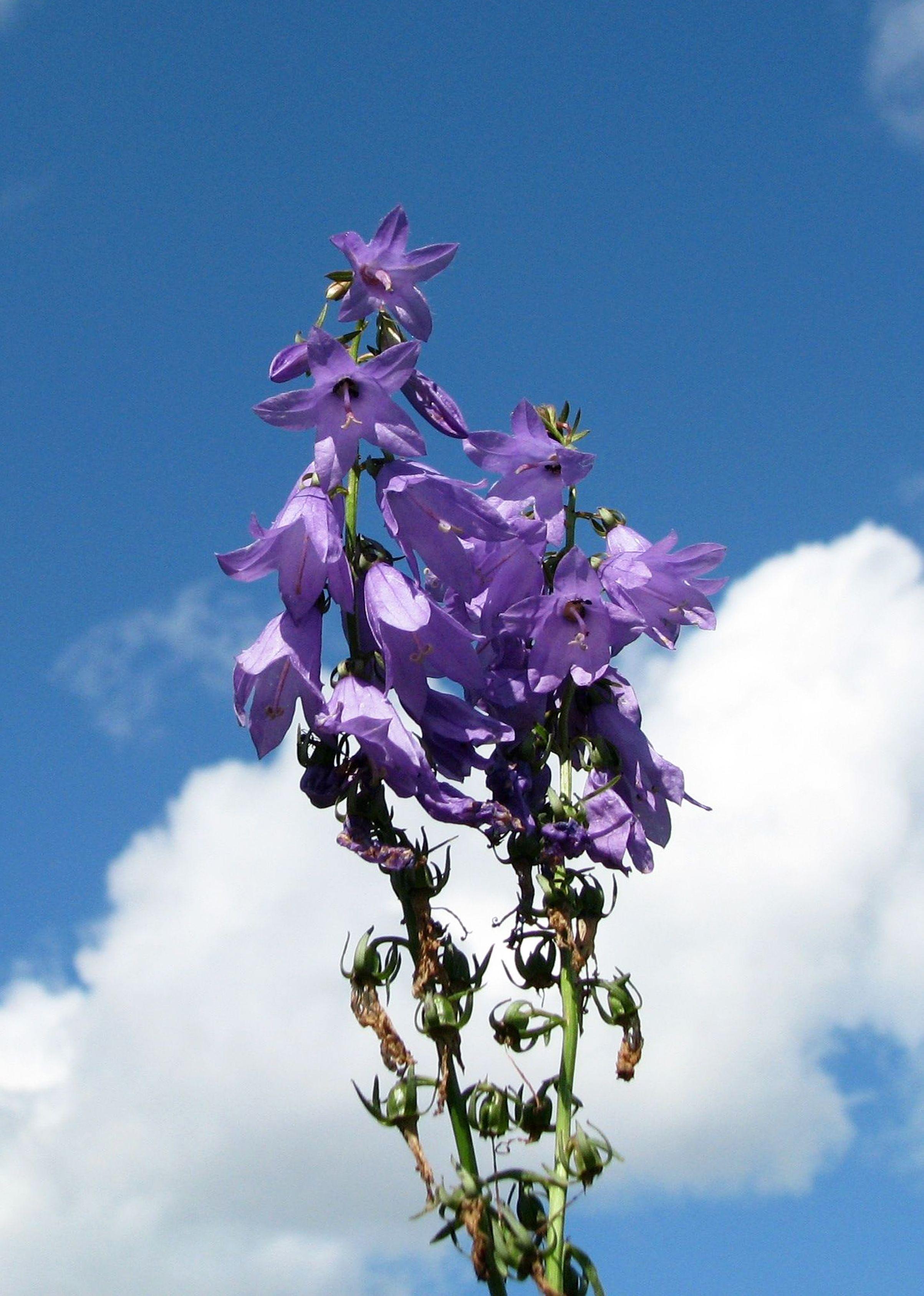 Carotte Bleue tout images gratuites : fleur, ciel, printemps, bleu, flore, fleur