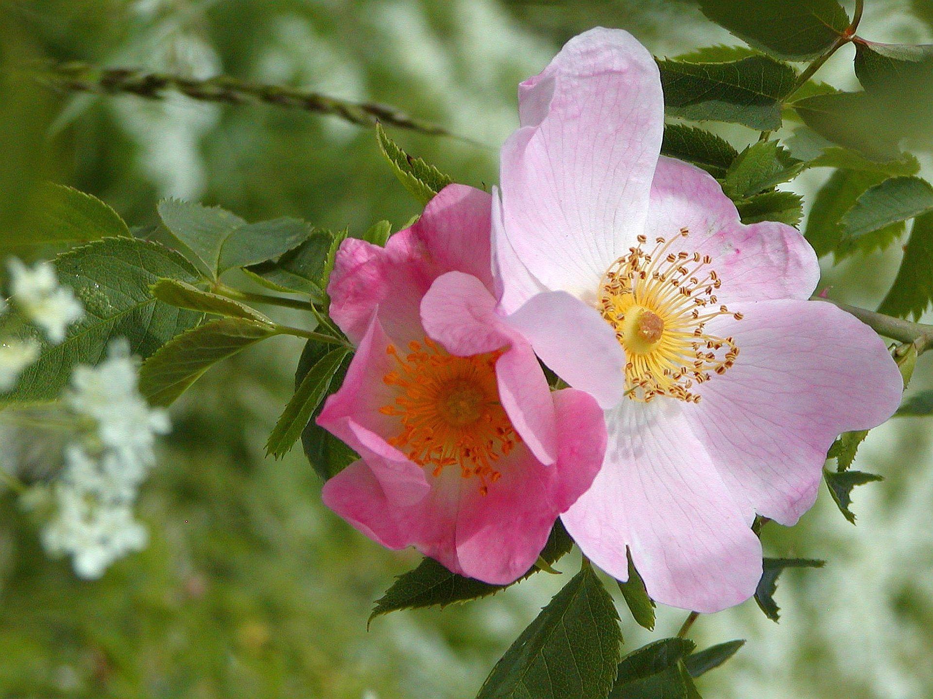 Букет цветущего шиповника фото