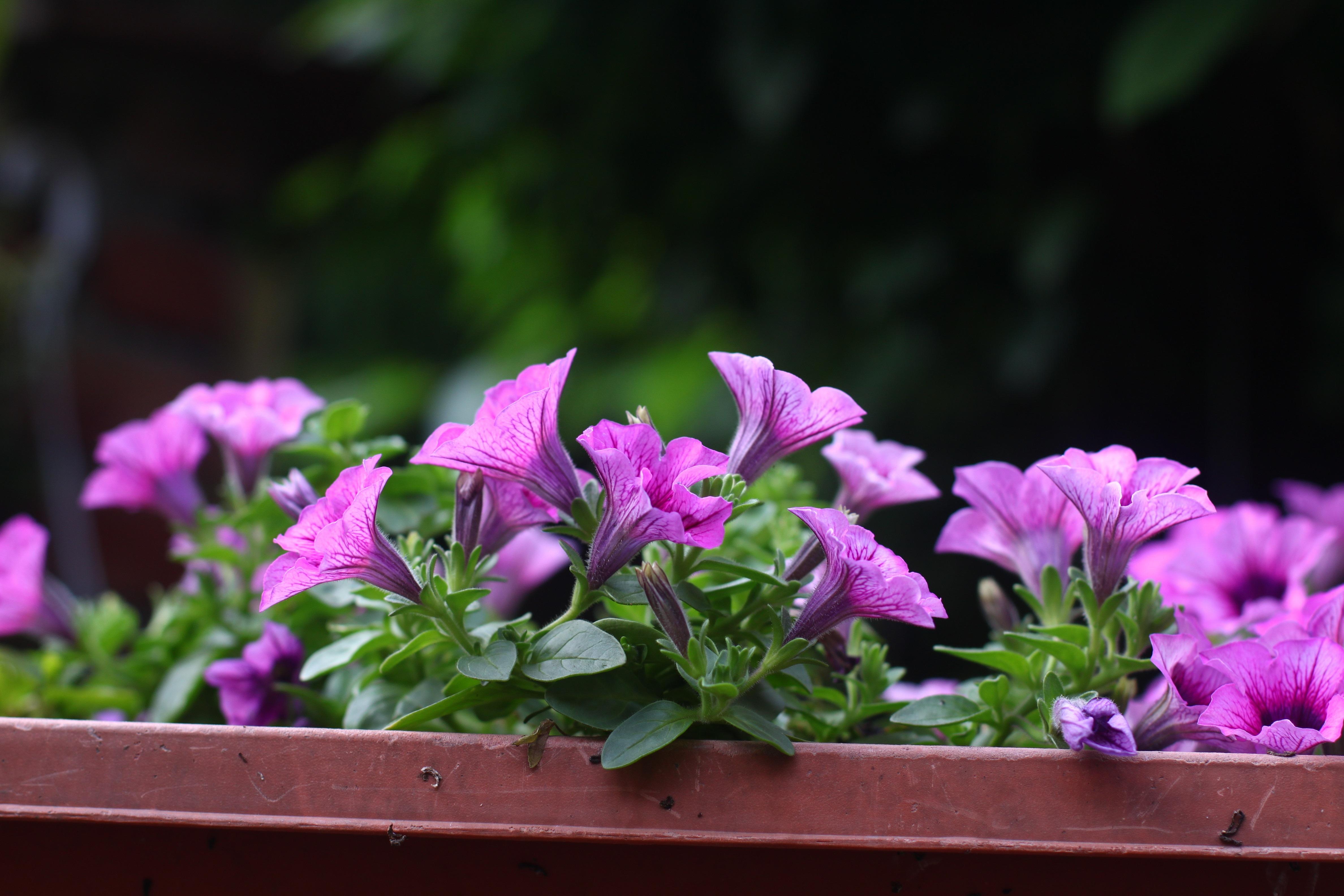 Blühen Pflanze Sonnenschein Morgen Blume Lila Blütenblatt Grün Natürlich  Frisch Botanik Flora Wildblume Alpenveilchen Topfpflanzen Floristik