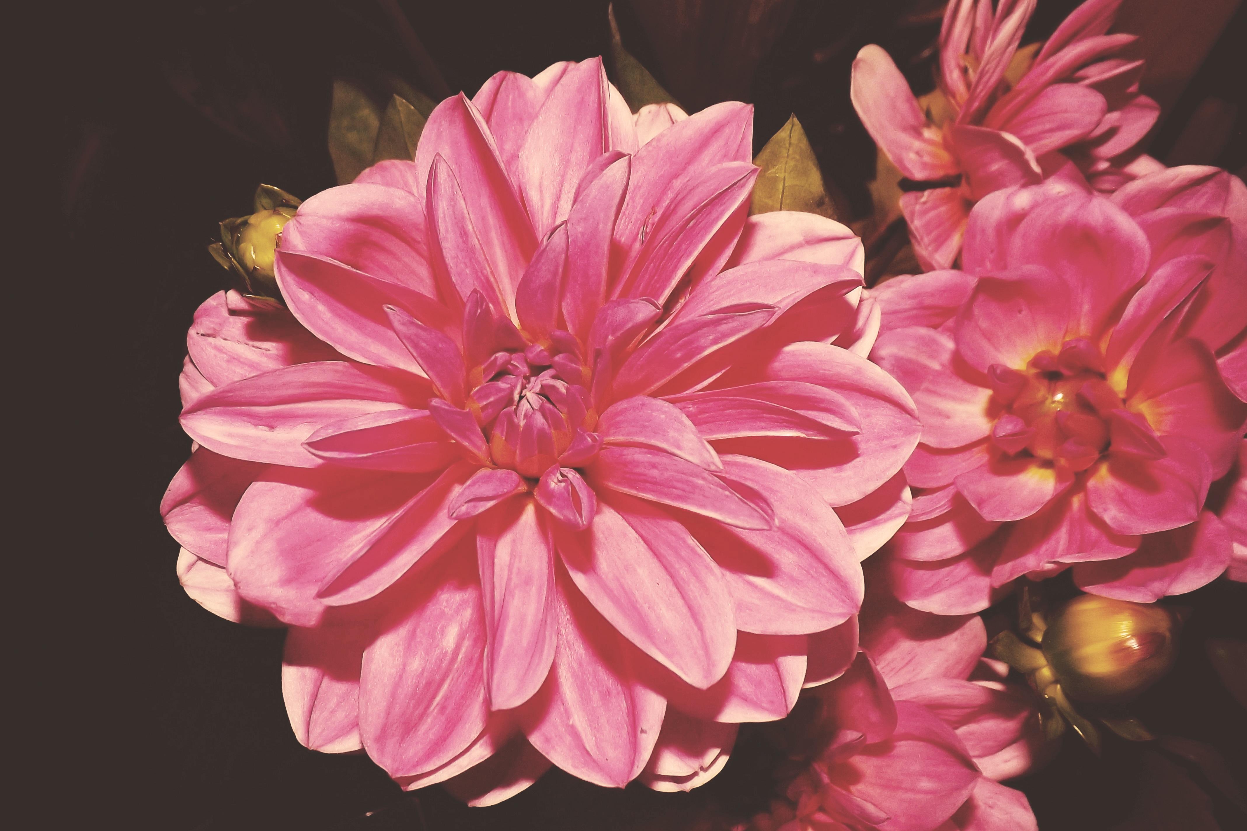 Free images blossom vintage retro flower petal bloom pink blossom plant vintage retro flower petal bloom pink flora flowers dahlia shabby dahlias floristry macro photography izmirmasajfo