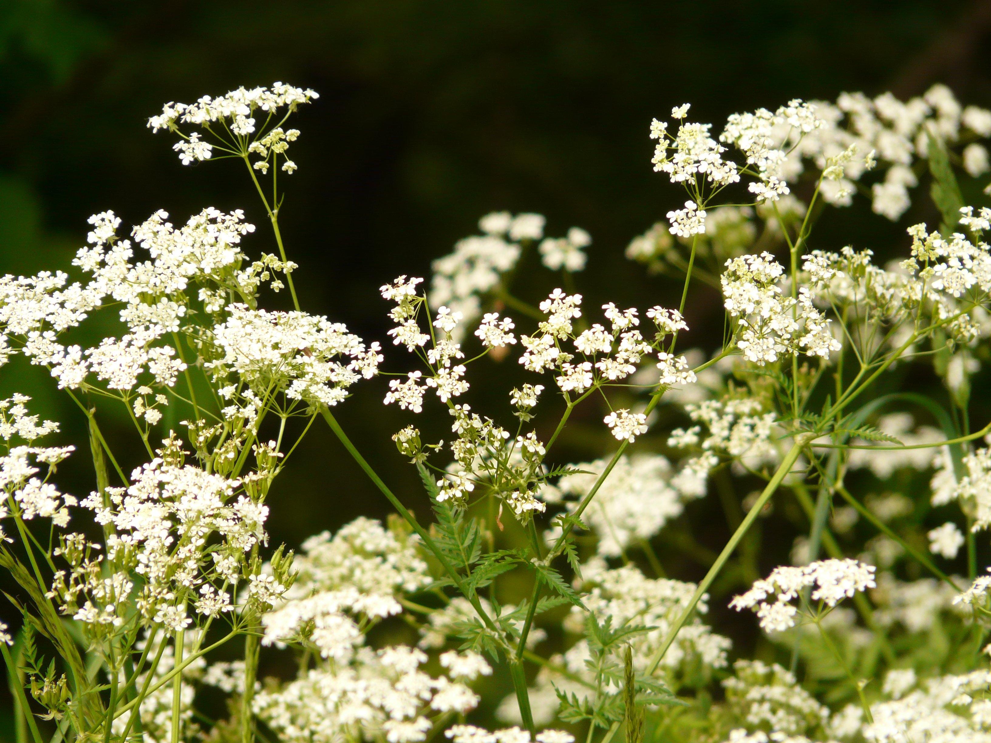 как одноименный сорняк с белыми цветочками фото и названия браво