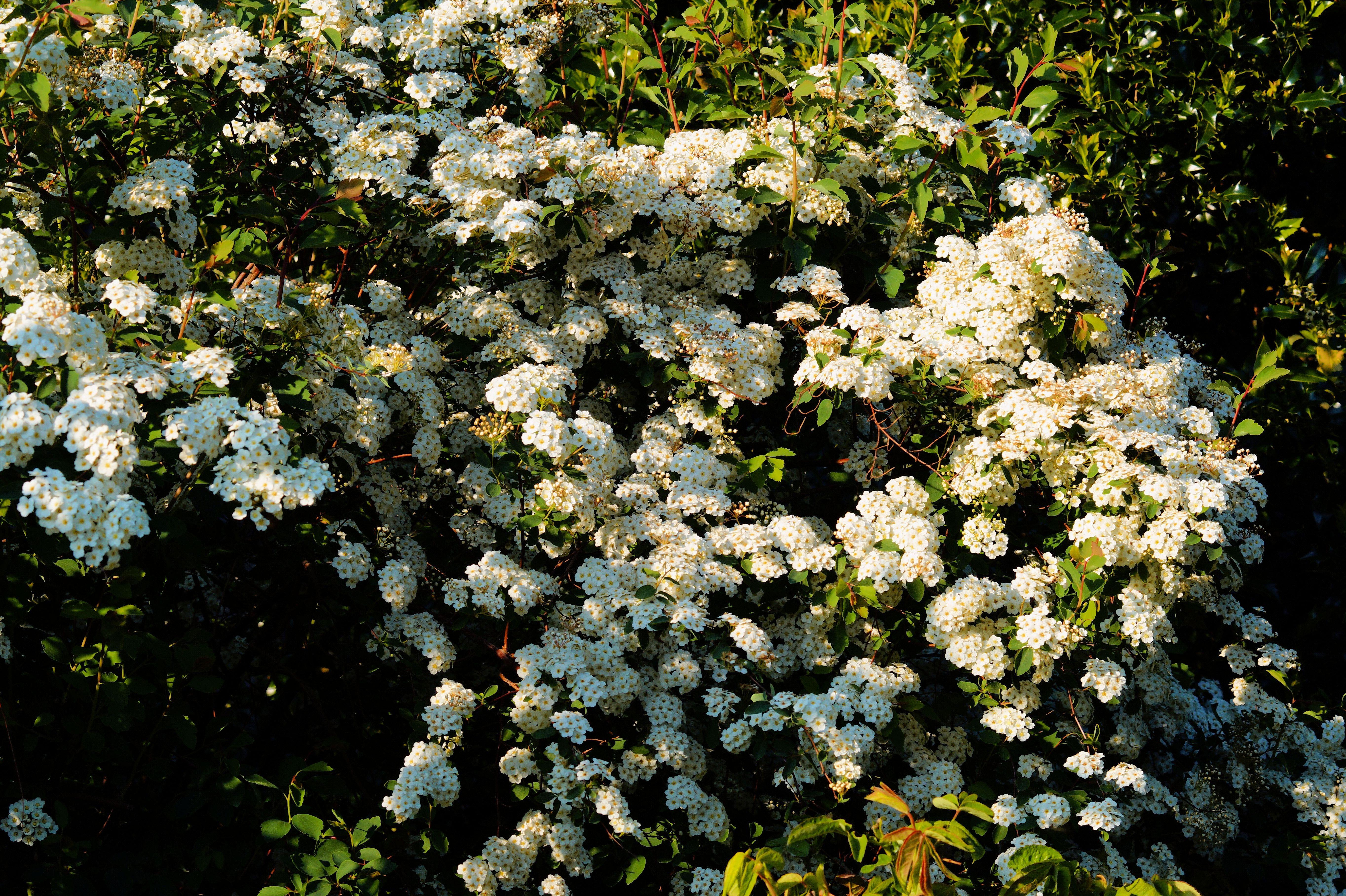 Free Images Blossom Flower Bush Spring Grow Botany Garden