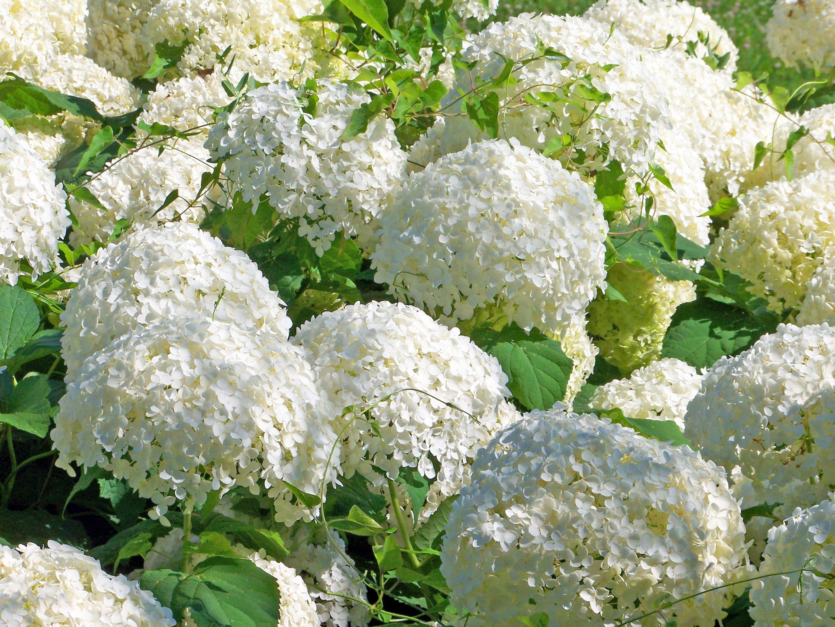 Free Images Blossom White Flower Floral Bush
