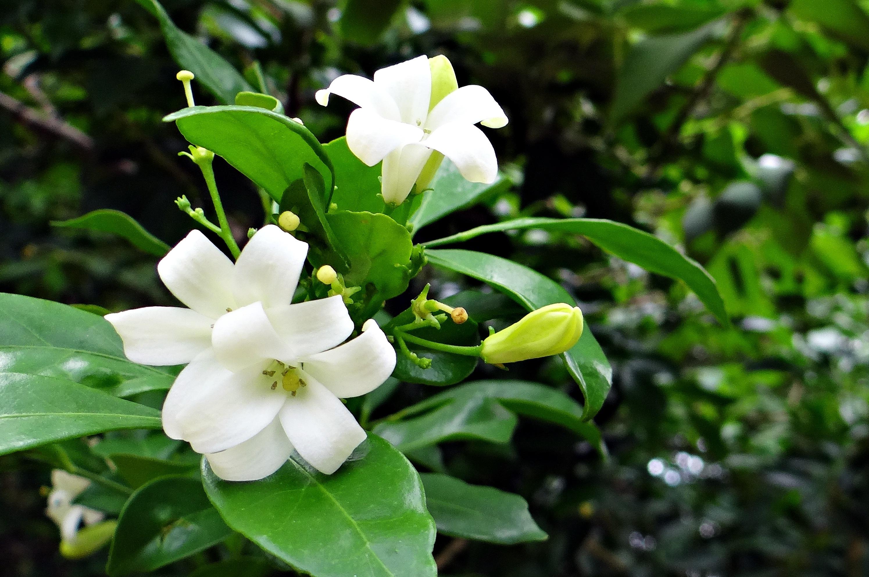 Free images blossom white flower green botany flora blossom plant white flower green botany flora wildflower shrub india gardenia macro photography karnataka jasmine flowering izmirmasajfo