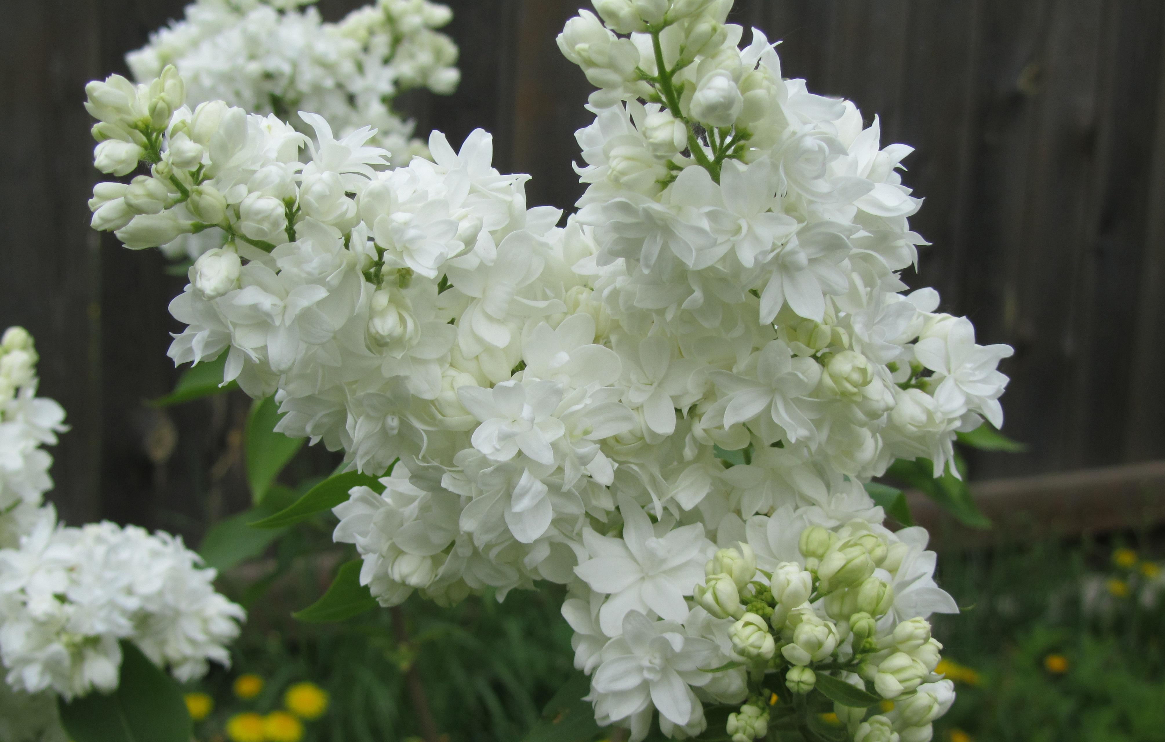 Free Images Blossom White Flower Green Closeup Flowers Shrub