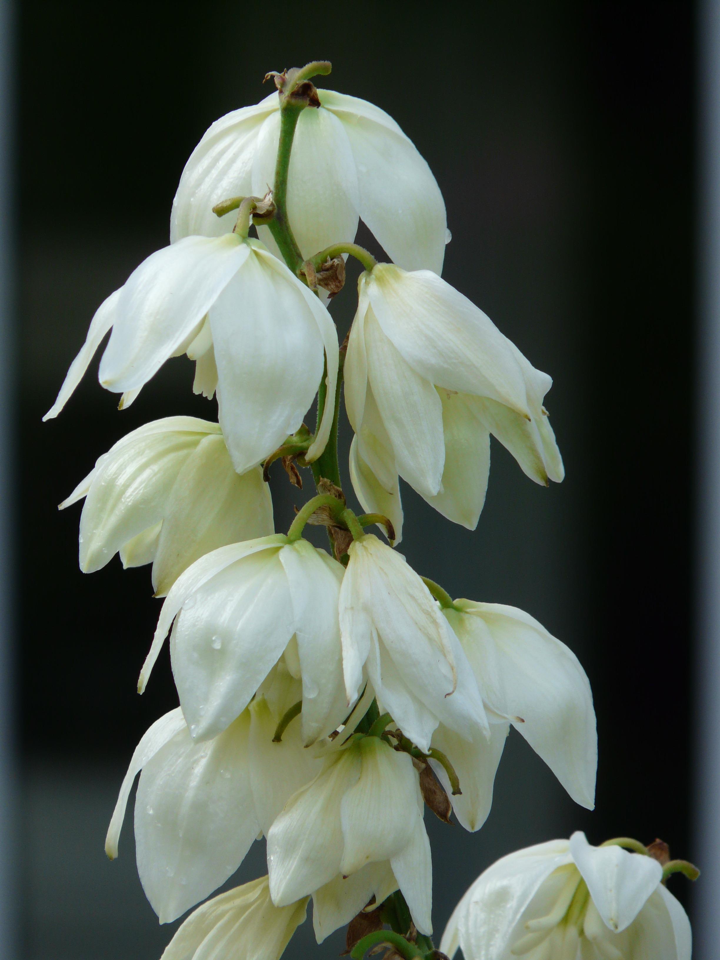 Images Gratuites Fleur Blanc Petale Floraison Botanique Flore