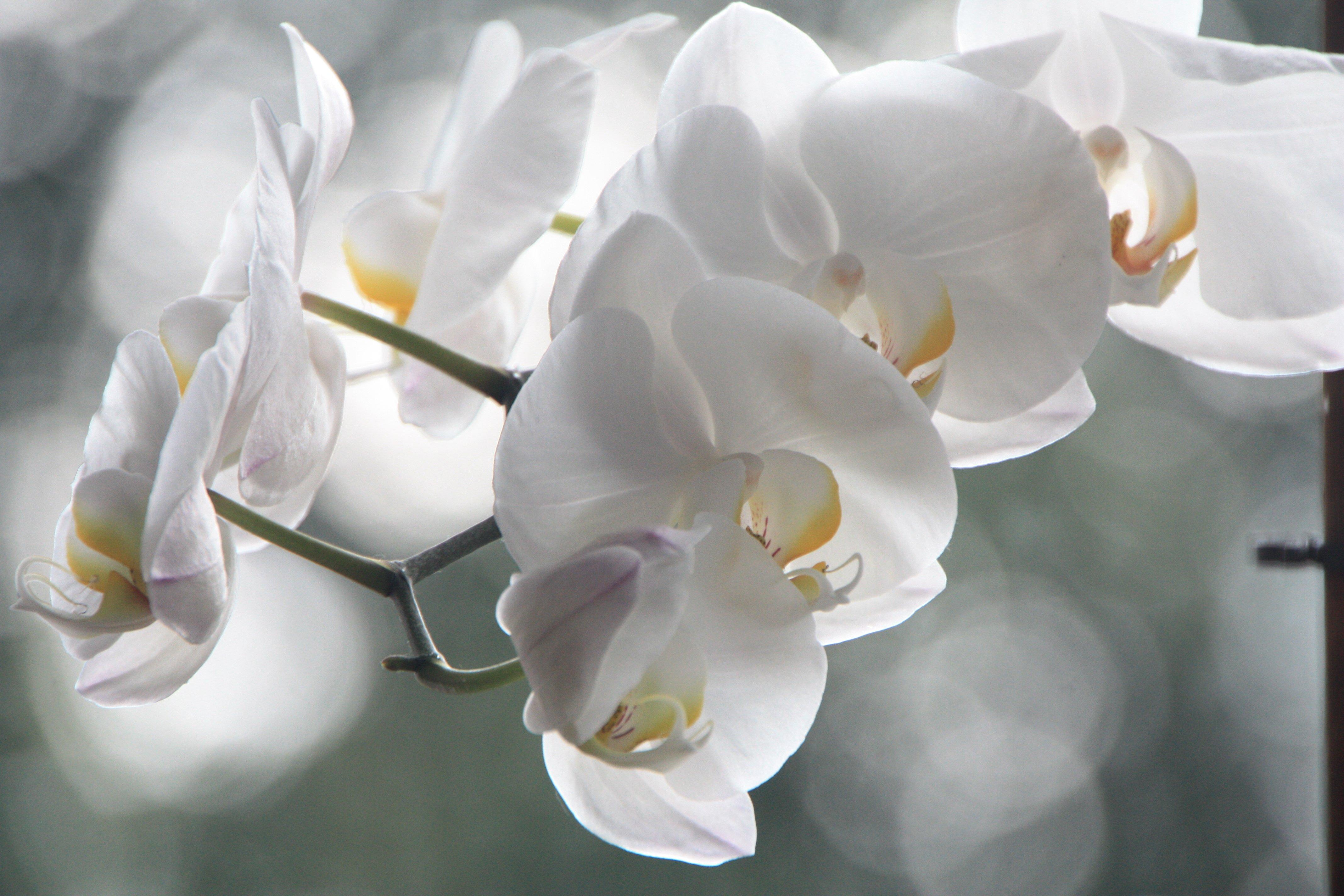 фотоэлементы картинка белой орхидеи на сером фоне рецепт любви счастья
