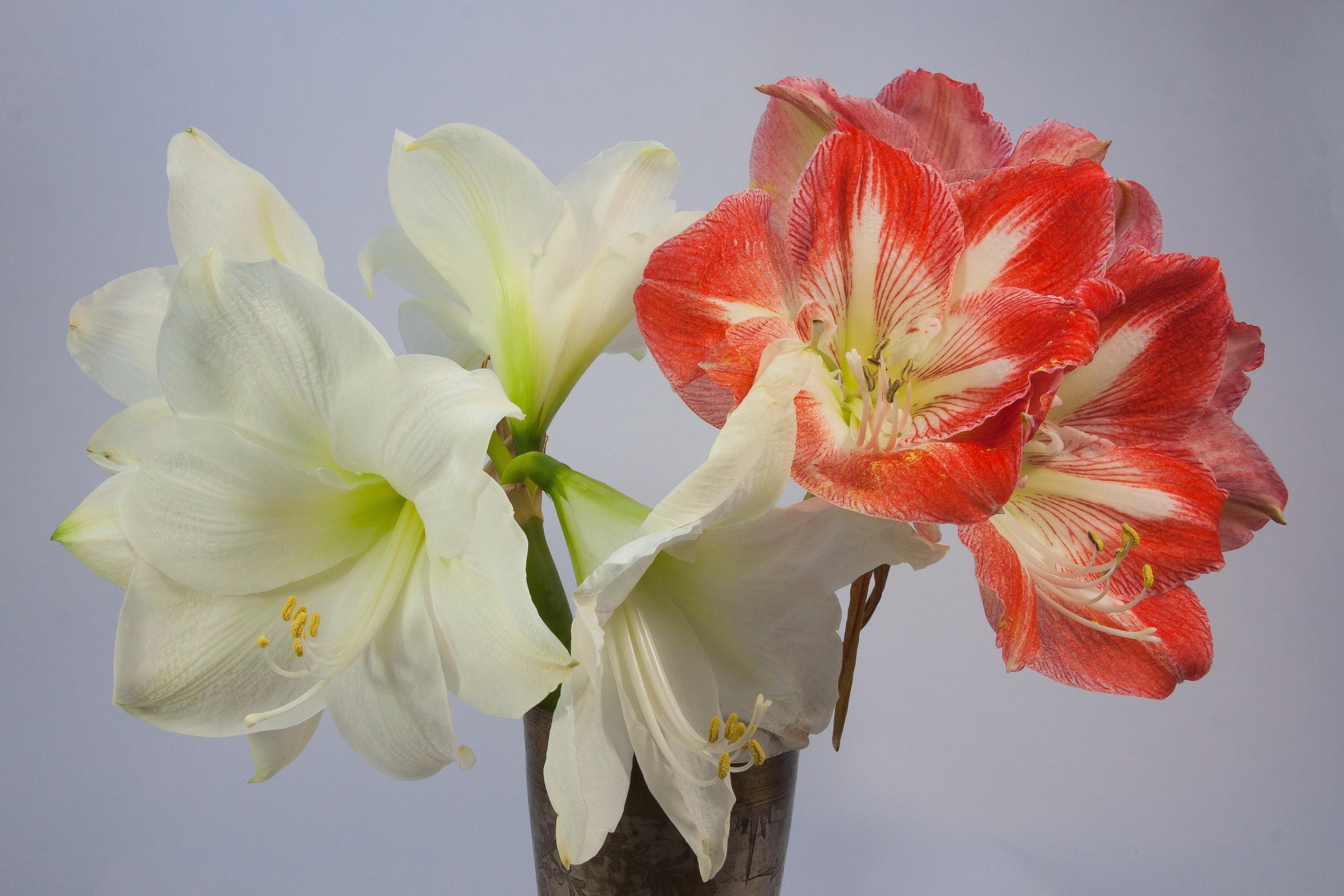 Free images blossom white flower petal bloom for Amaryllis en bouquet
