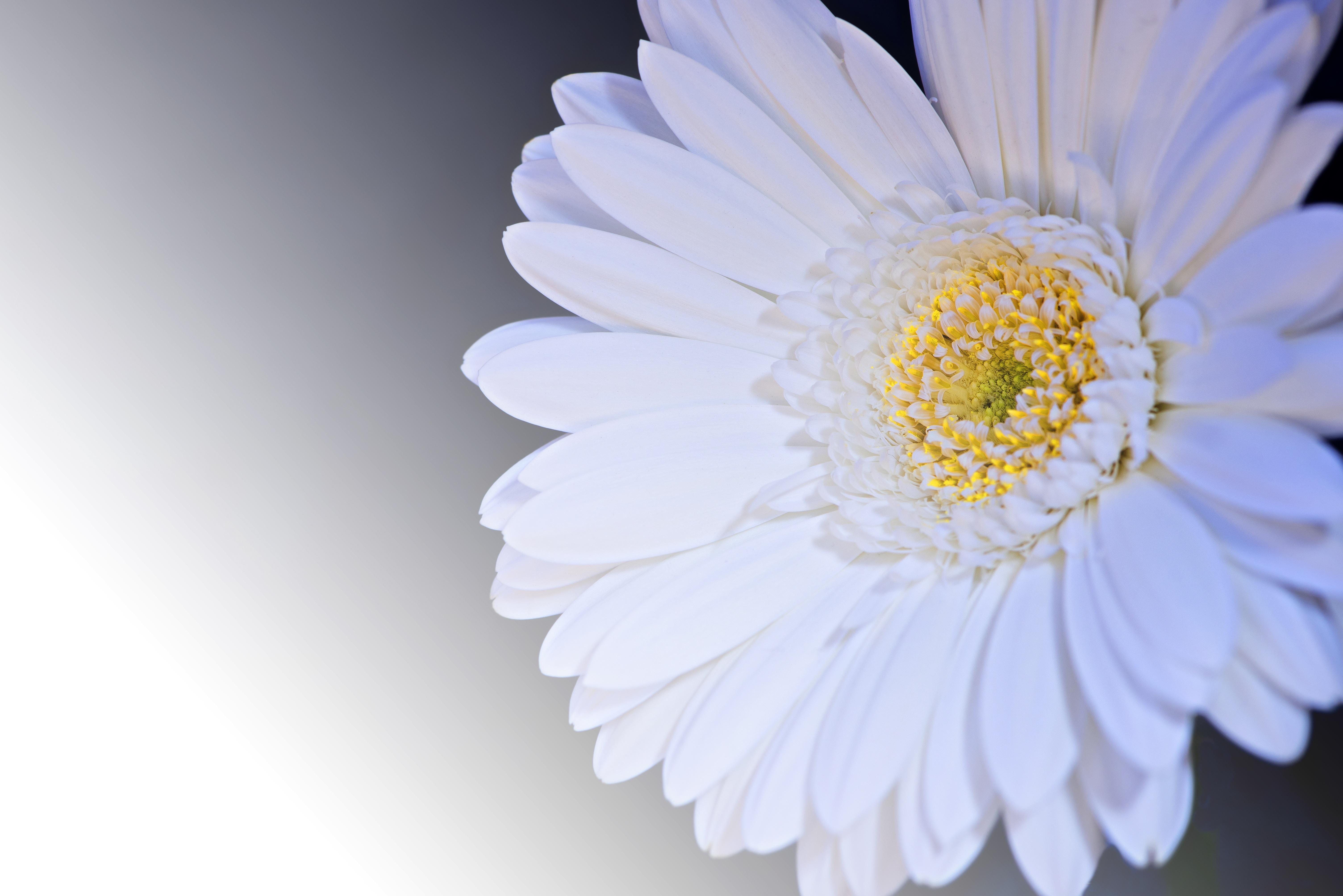 Free Images Blossom Petal Bloom White Flower Close Up Petals