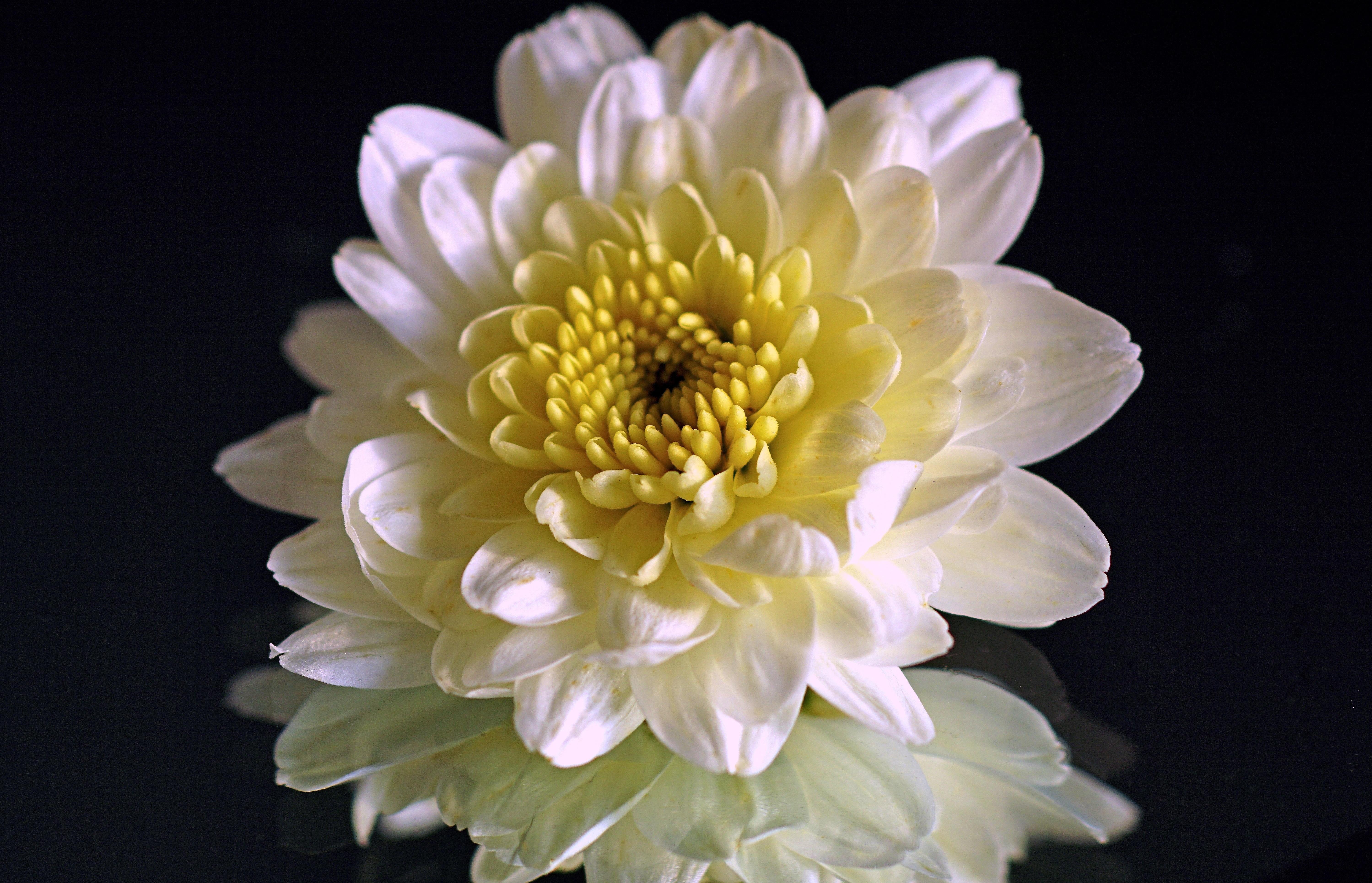 Free images blossom white petal bloom yellow flora free images blossom white petal bloom yellow flora arrangement close up dahlia reflect aster mirror autumn flower floristry izmirmasajfo