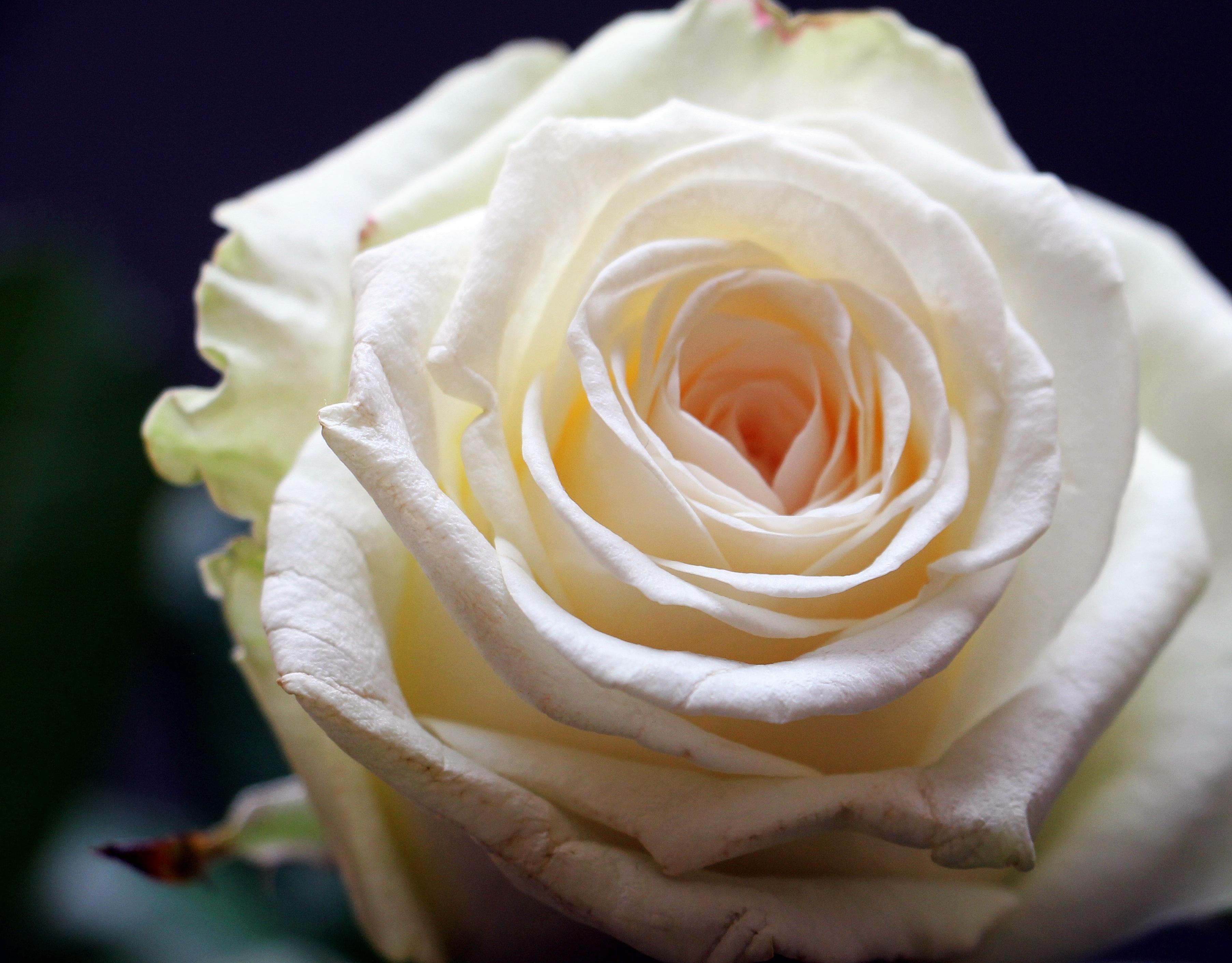 картинки распускающихся роз навеса для дров