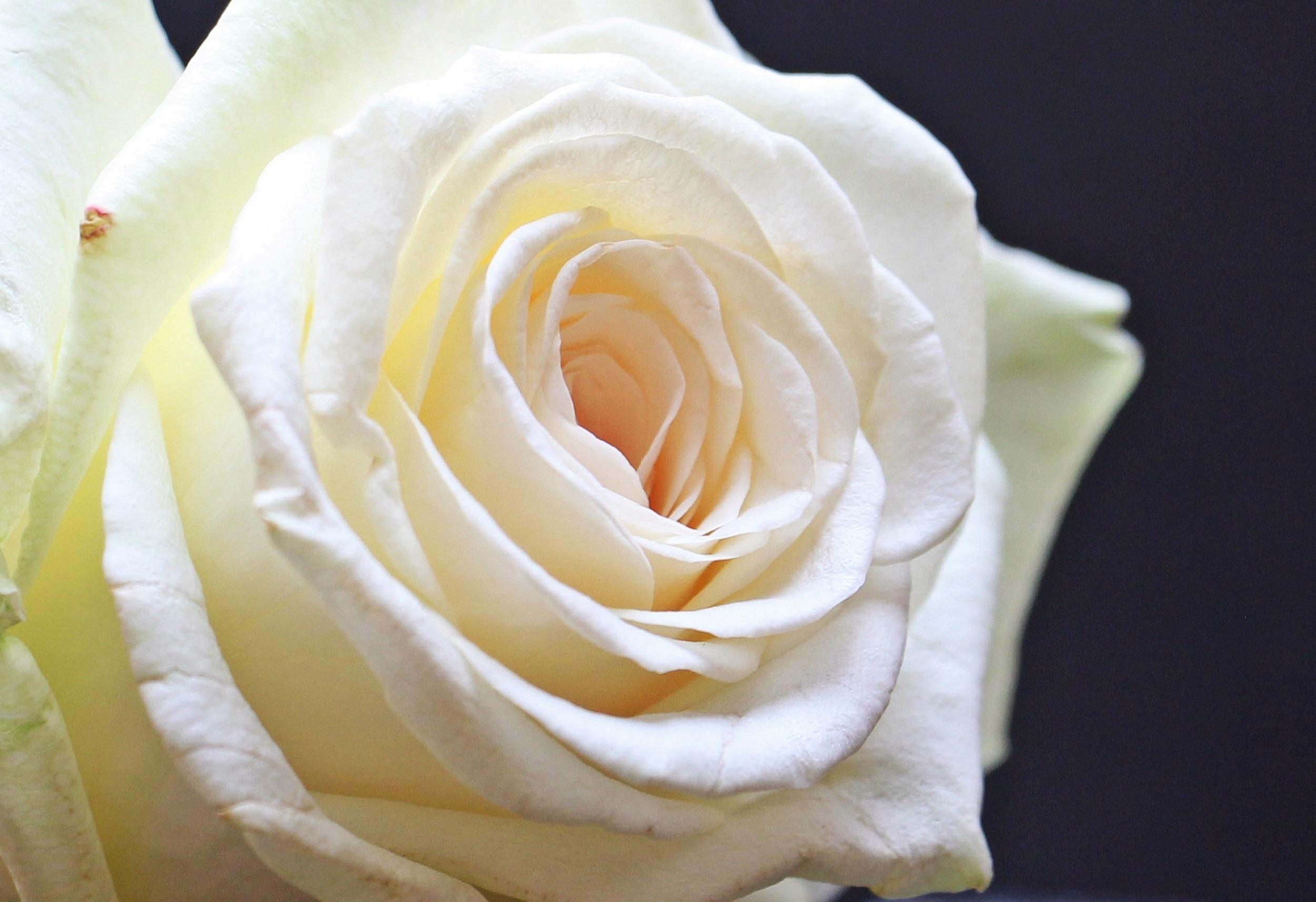 картинки белых роз с лепестками роз любишь вел так