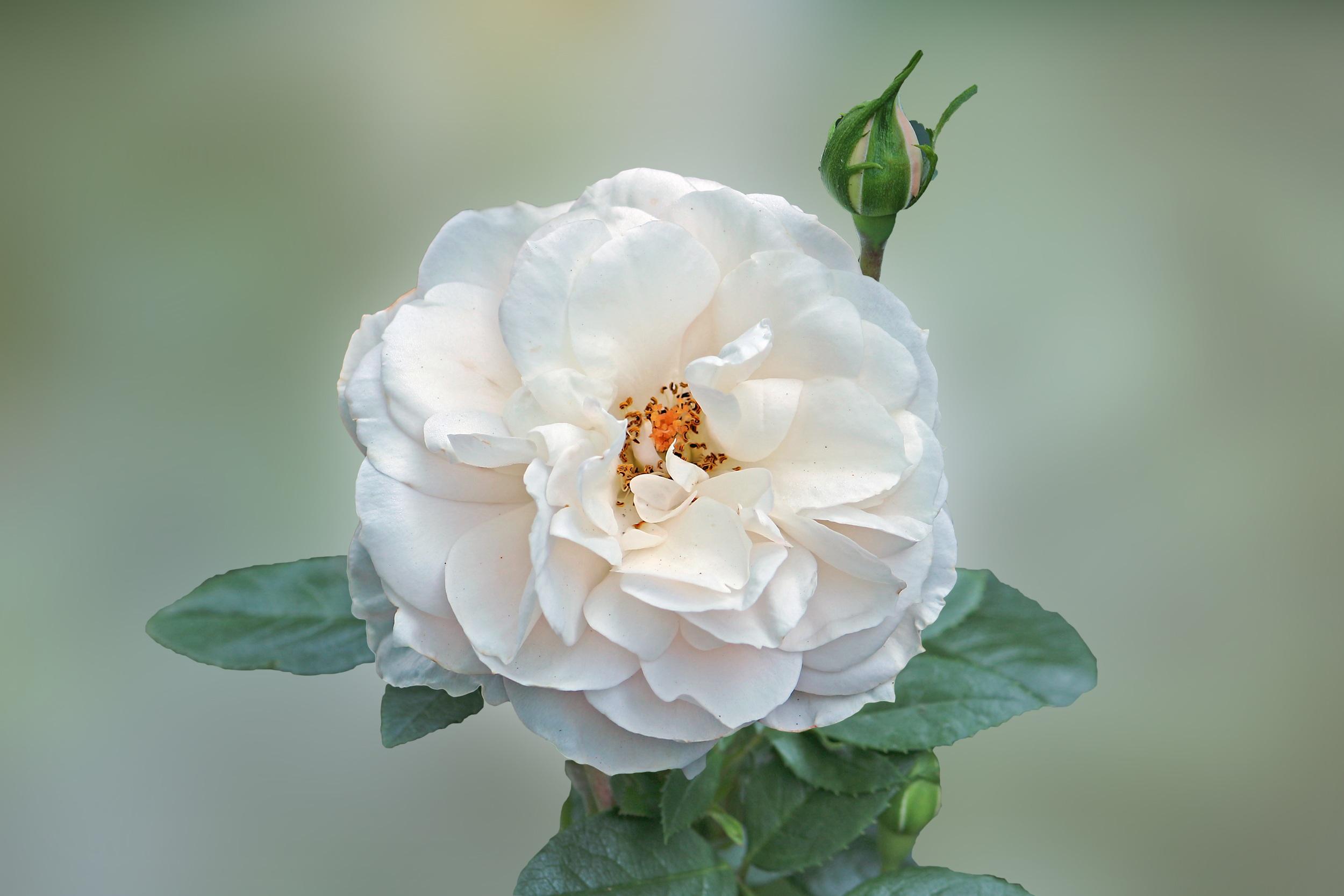 Mekar menanam putih bunga daun bunga berkembang mawar botani flora merapatkan floribunda fotografi makro mawar putih