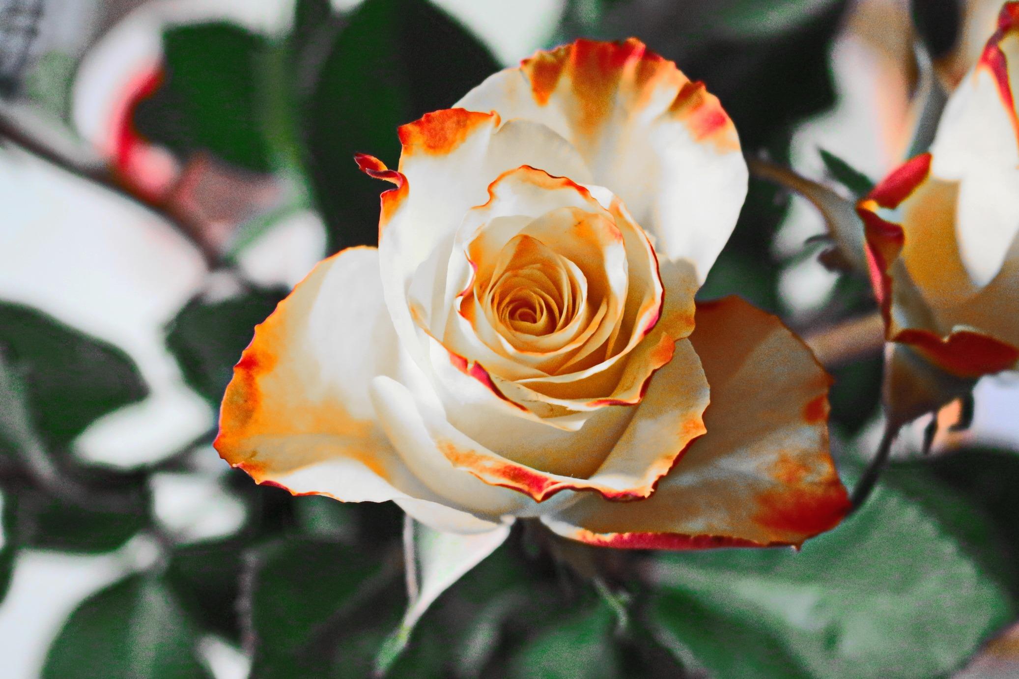 пасху красивые цветы картинки розы белые черные красные оранжевые домов